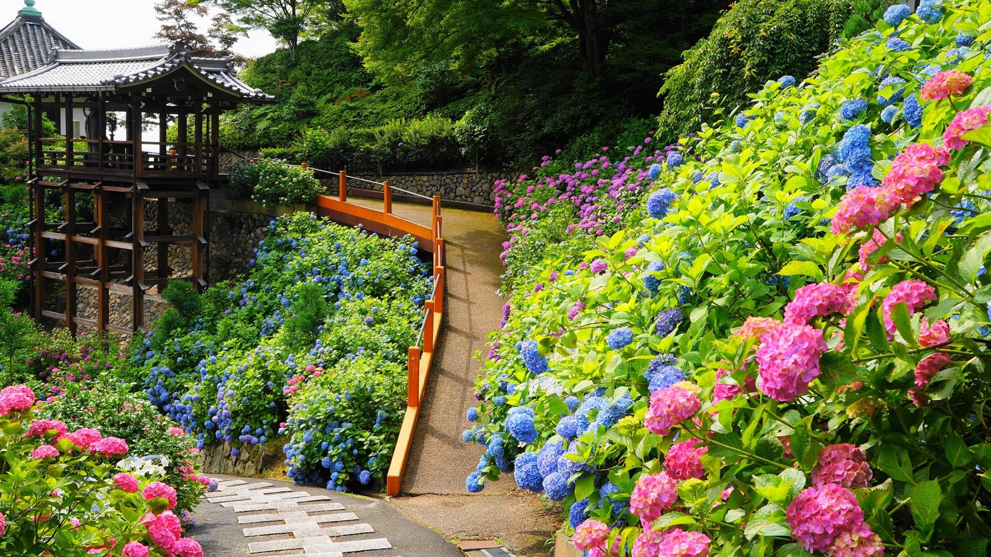 たくさんの種類の紫陽花につつまれた善峯寺のあじさい苑