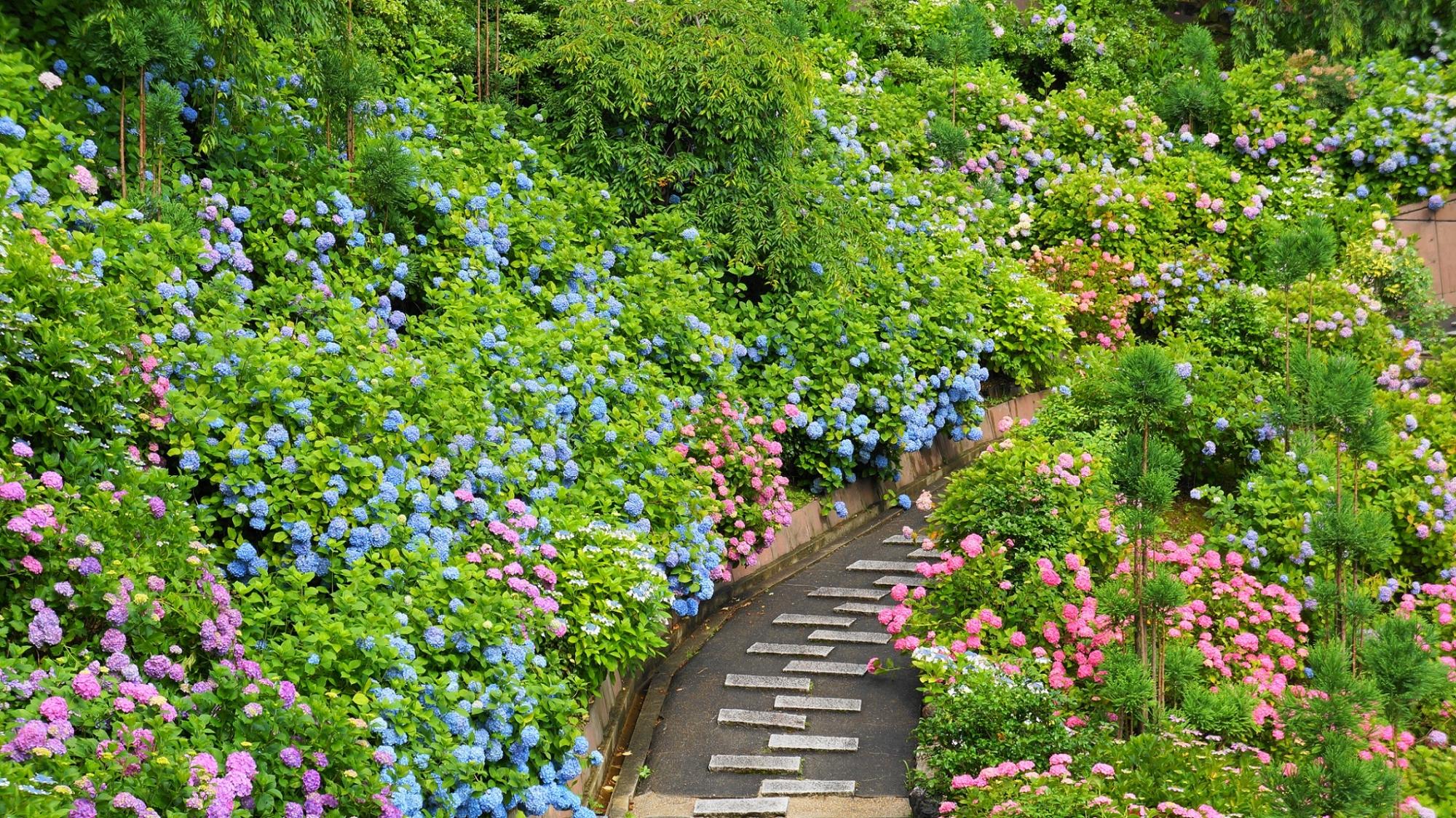 多彩な紫陽花に彩られる初夏の善峯寺(よしみねでら)