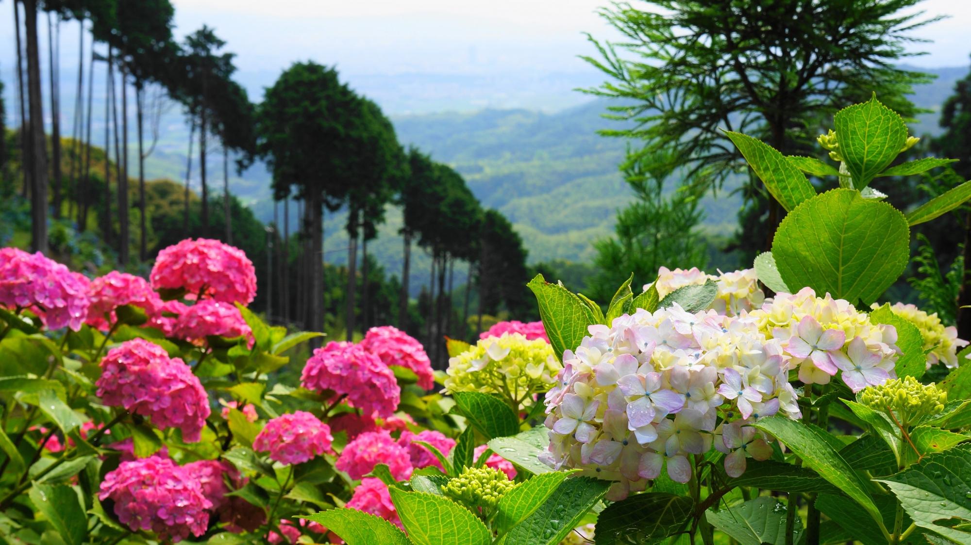 善峯寺の山寺ならではの爽快な紫陽花の風景