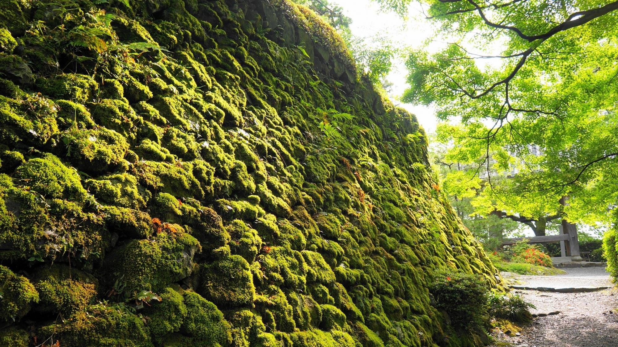 善峯寺つりがね堂前の眩い緑の苔に覆われた石垣