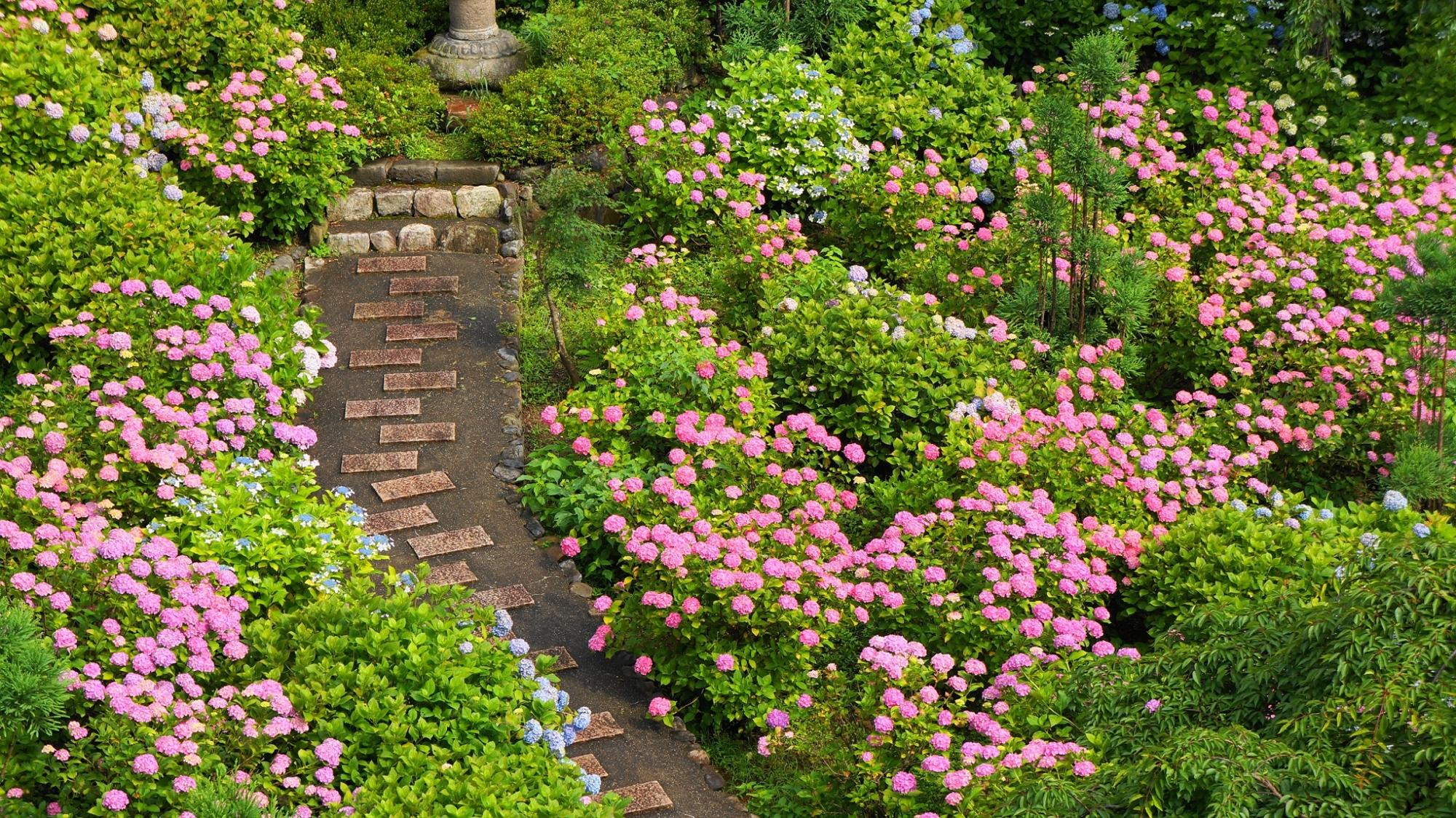 ピンクの紫陽花で溢れる善峯寺