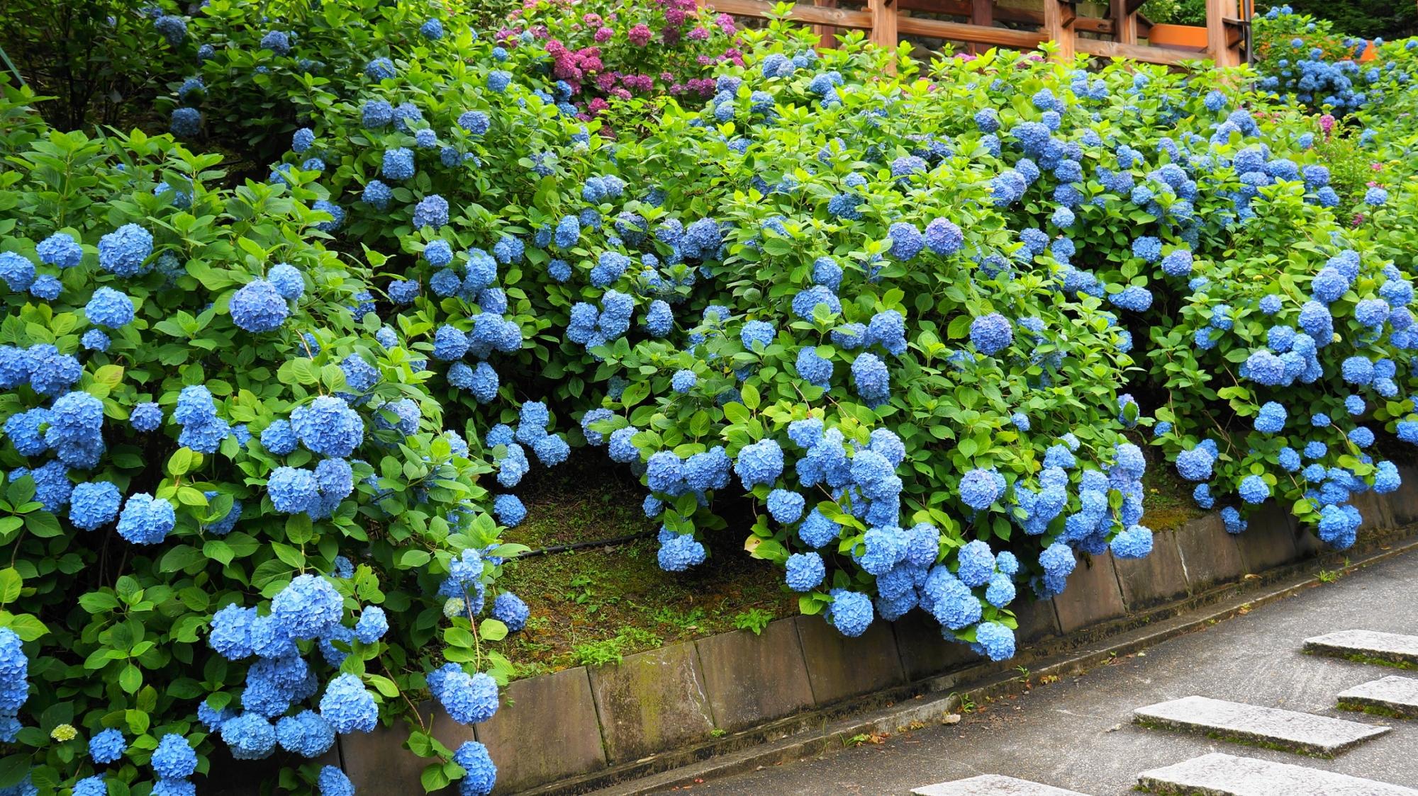 花の重たさでこぼれ落ちそうな見事な青い紫陽花