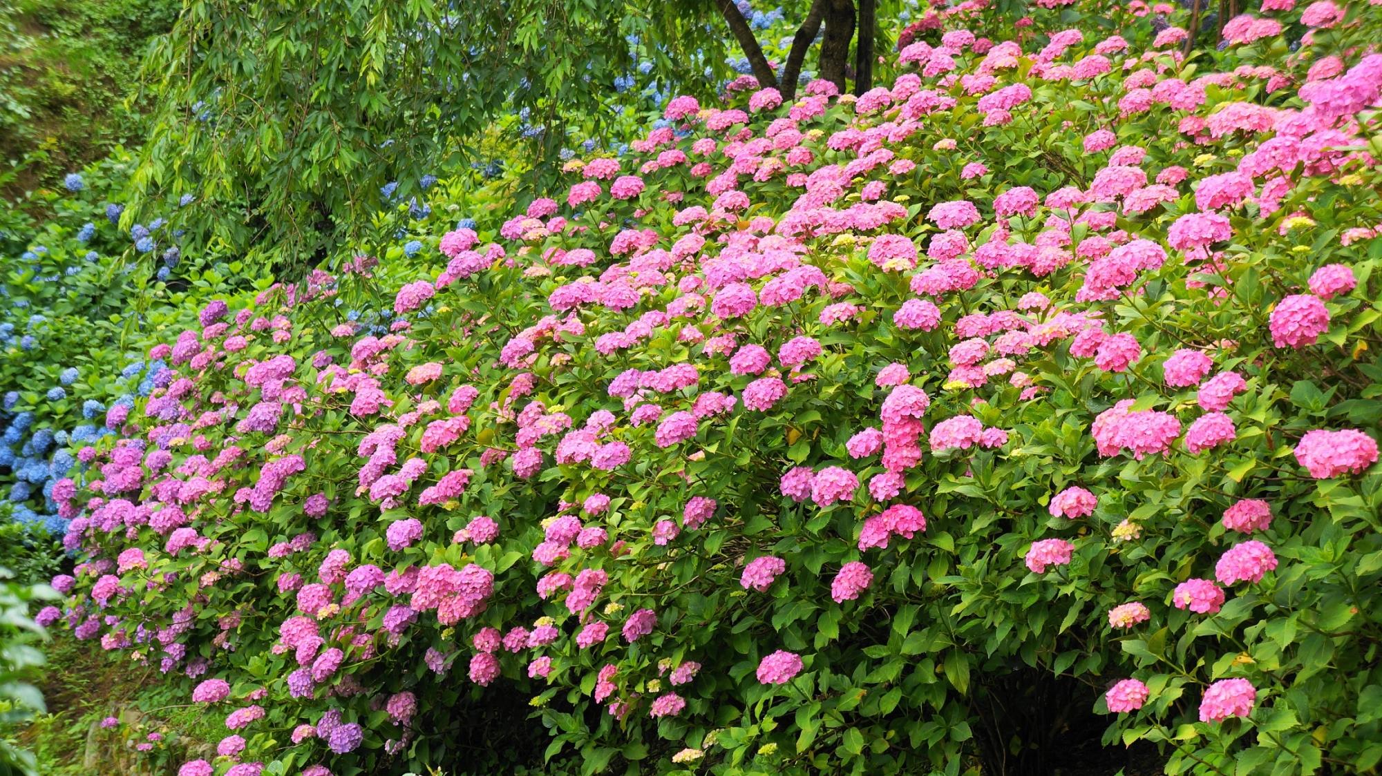 緑を覆う一面の華やかなピンクの紫陽花