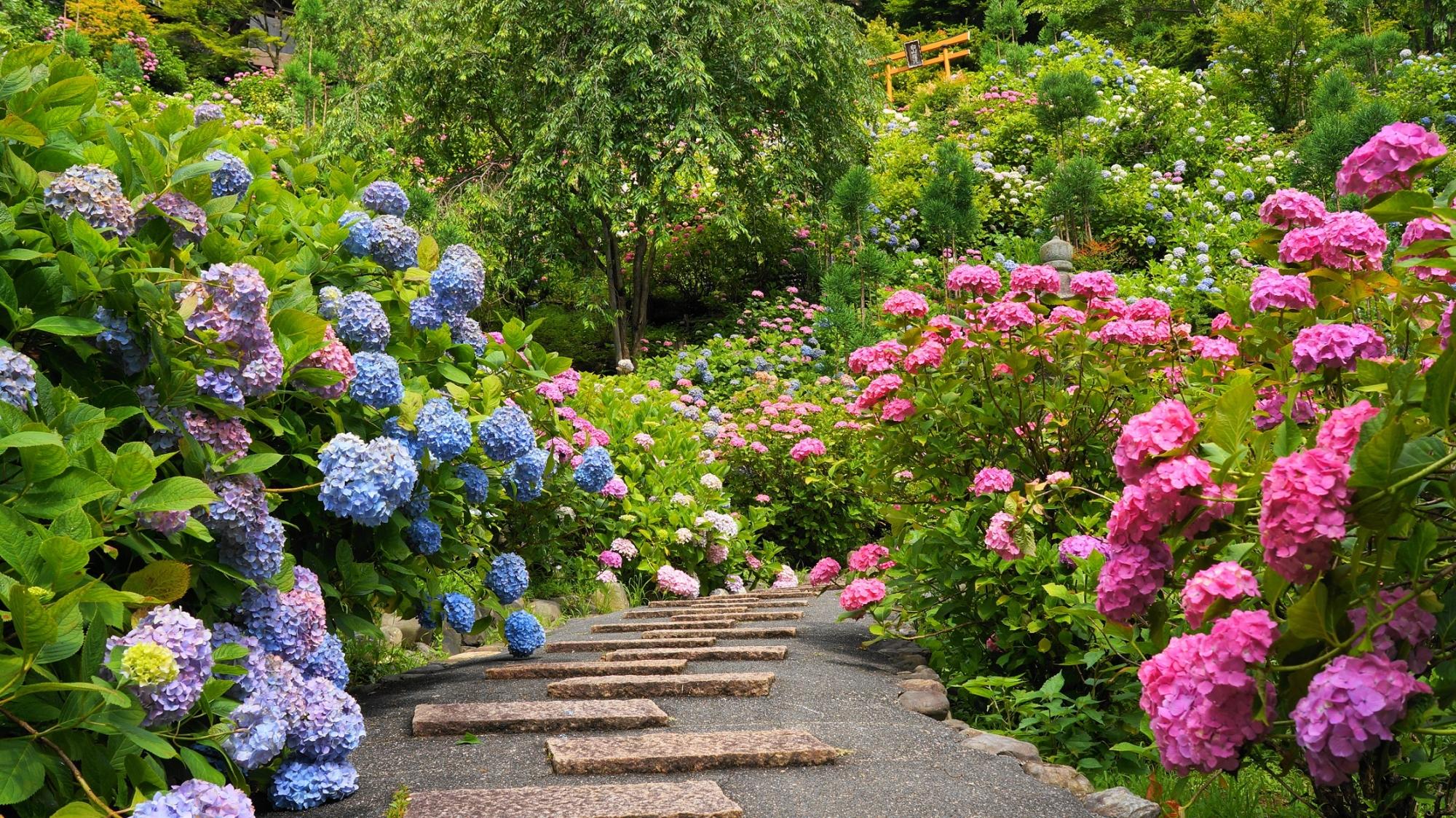 あじさい苑の参道両脇を彩る鮮やかな紫陽花