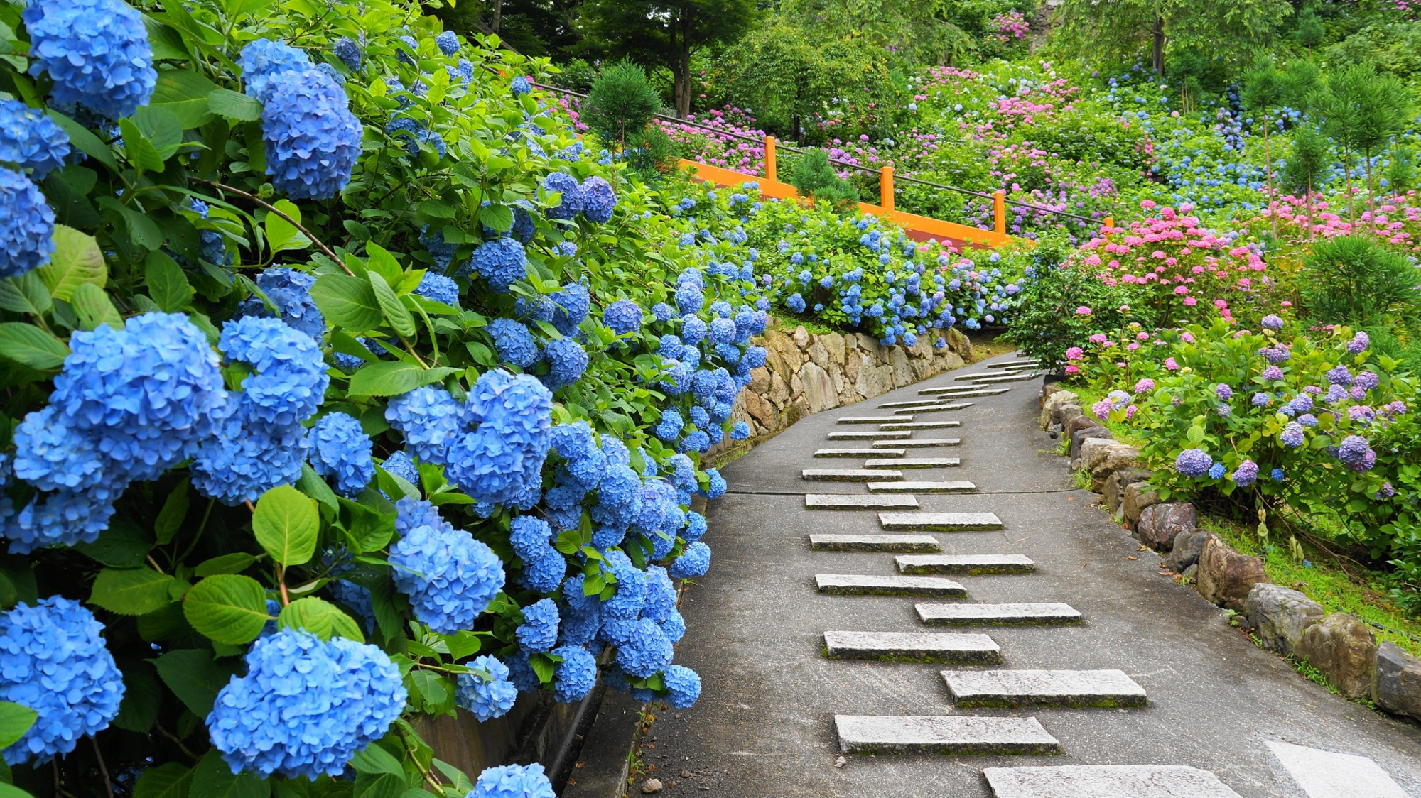 参道にこぼれ落ちそうな咲き誇るブルーの紫陽花