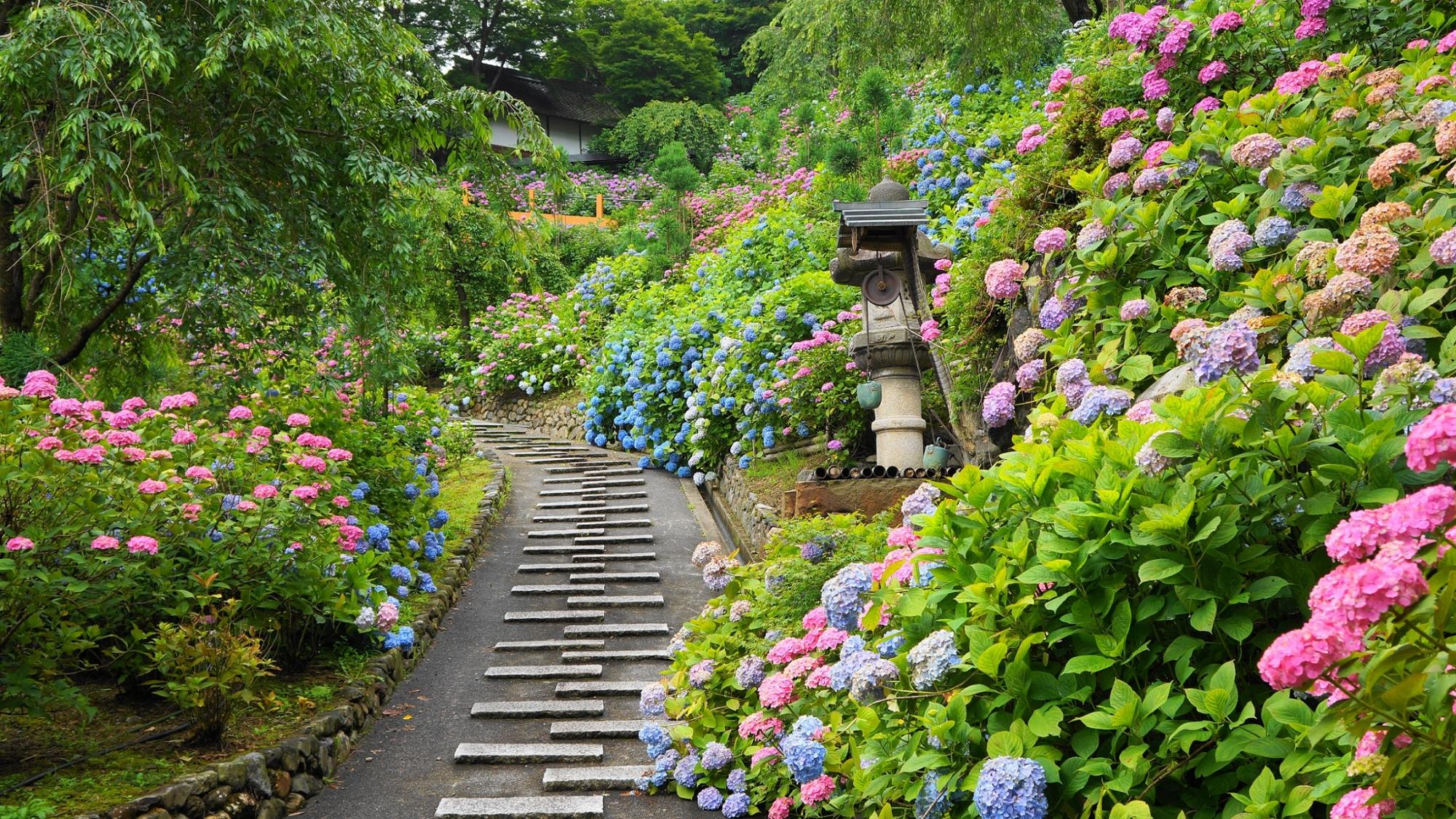 善峯寺の色とりどりの華やかな紫陽花につつまれる燈籠