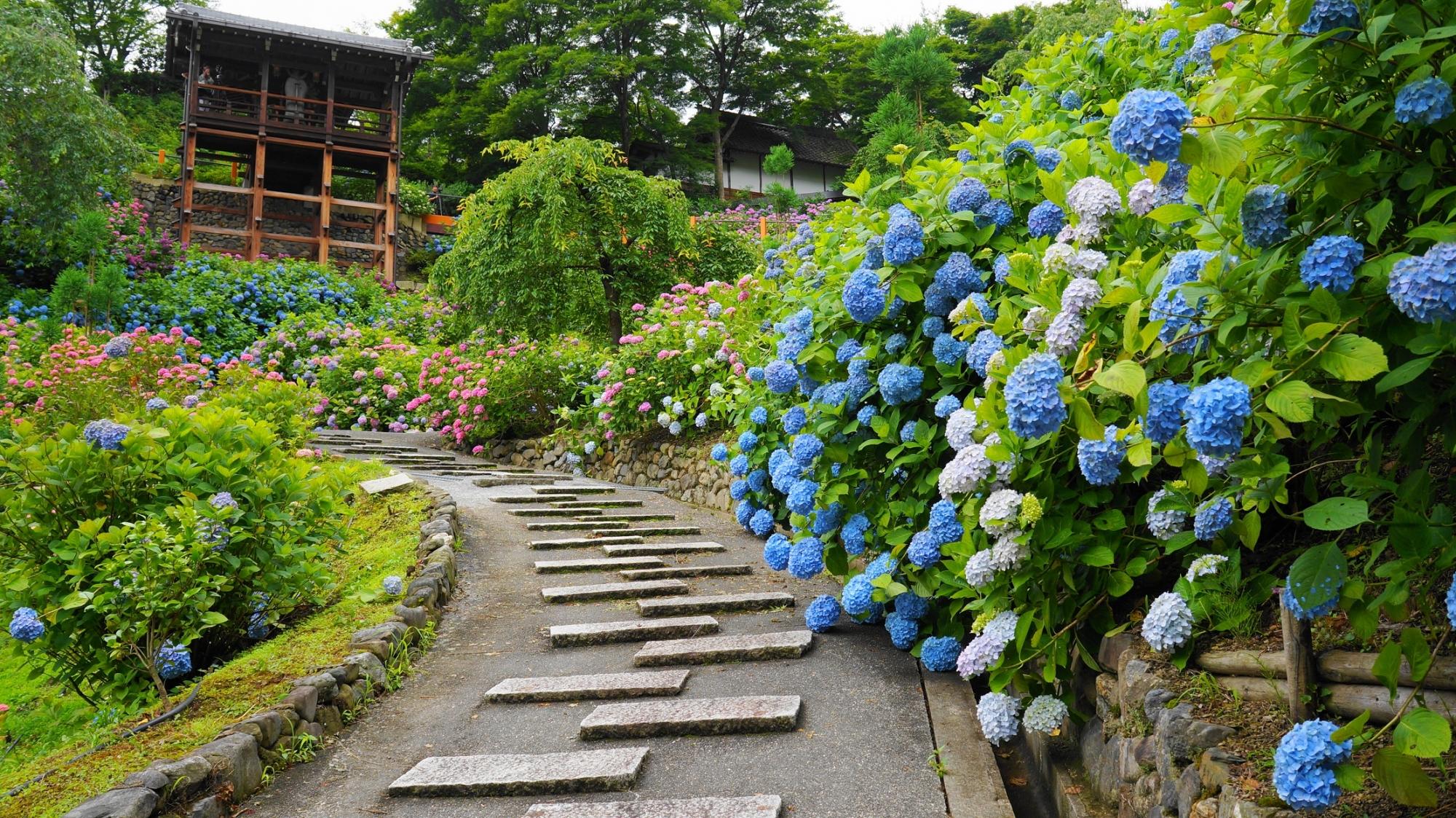 弾けんばかりに咲き誇る青い紫陽花と善峯寺の幸福地蔵