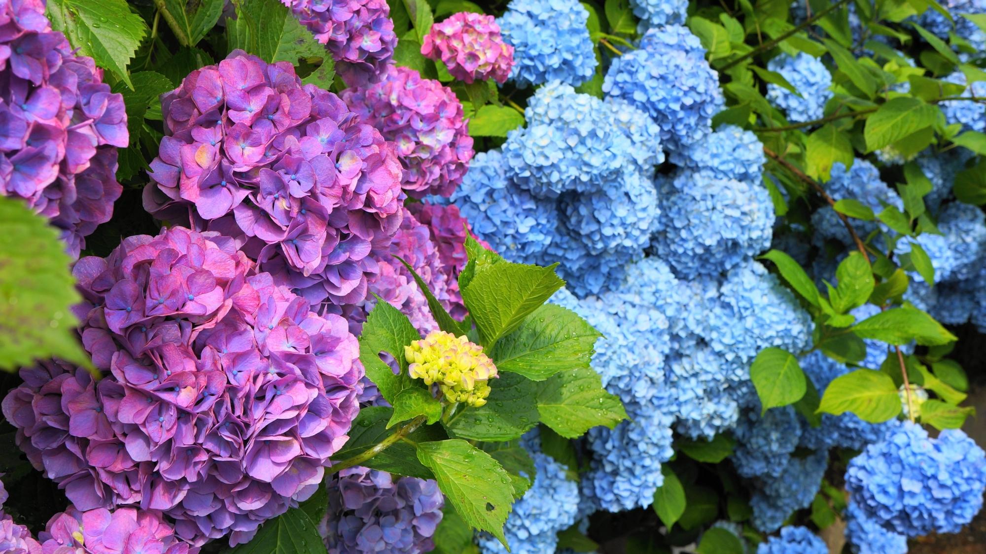 善峯寺の緑の中から溢れ出す優雅な紫陽花