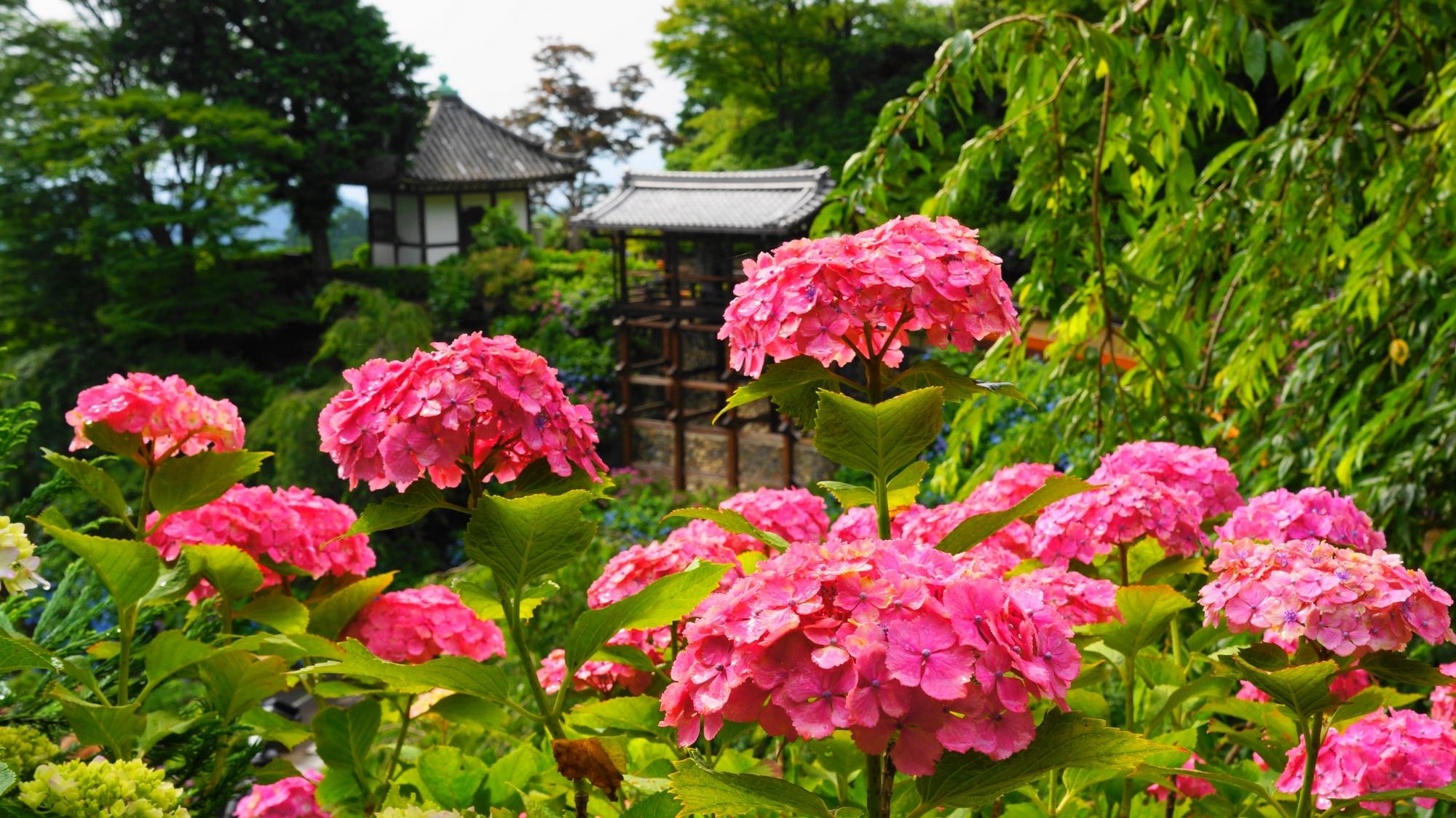 善峯寺の幸福地蔵さんを背景にした鮮やかな濃いピンクの紫陽花