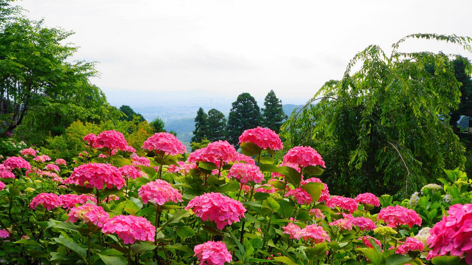 京都市街を背景にした善峯寺の煌くピンクの紫陽花
