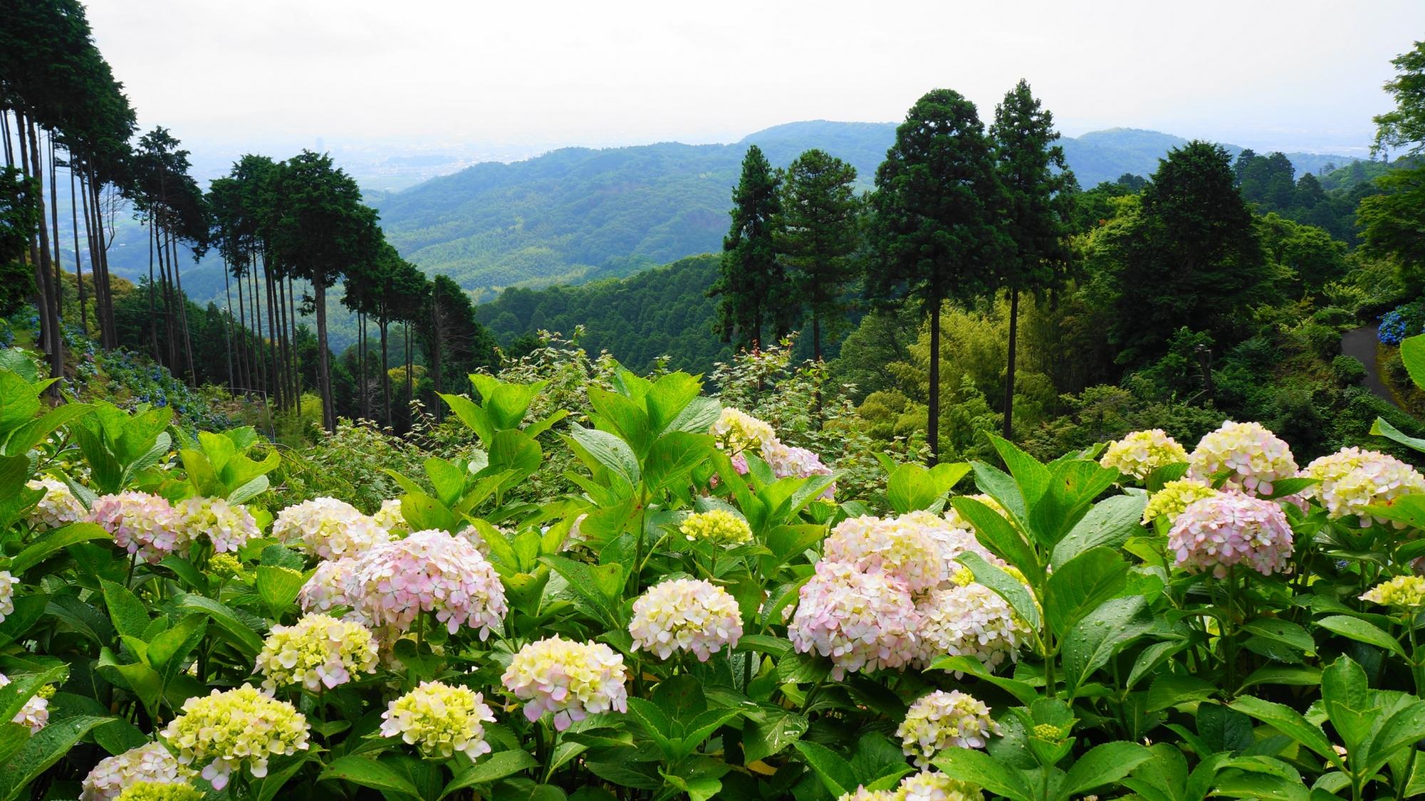 善峯寺の広々した境内に咲き誇る爽やかな紫陽花