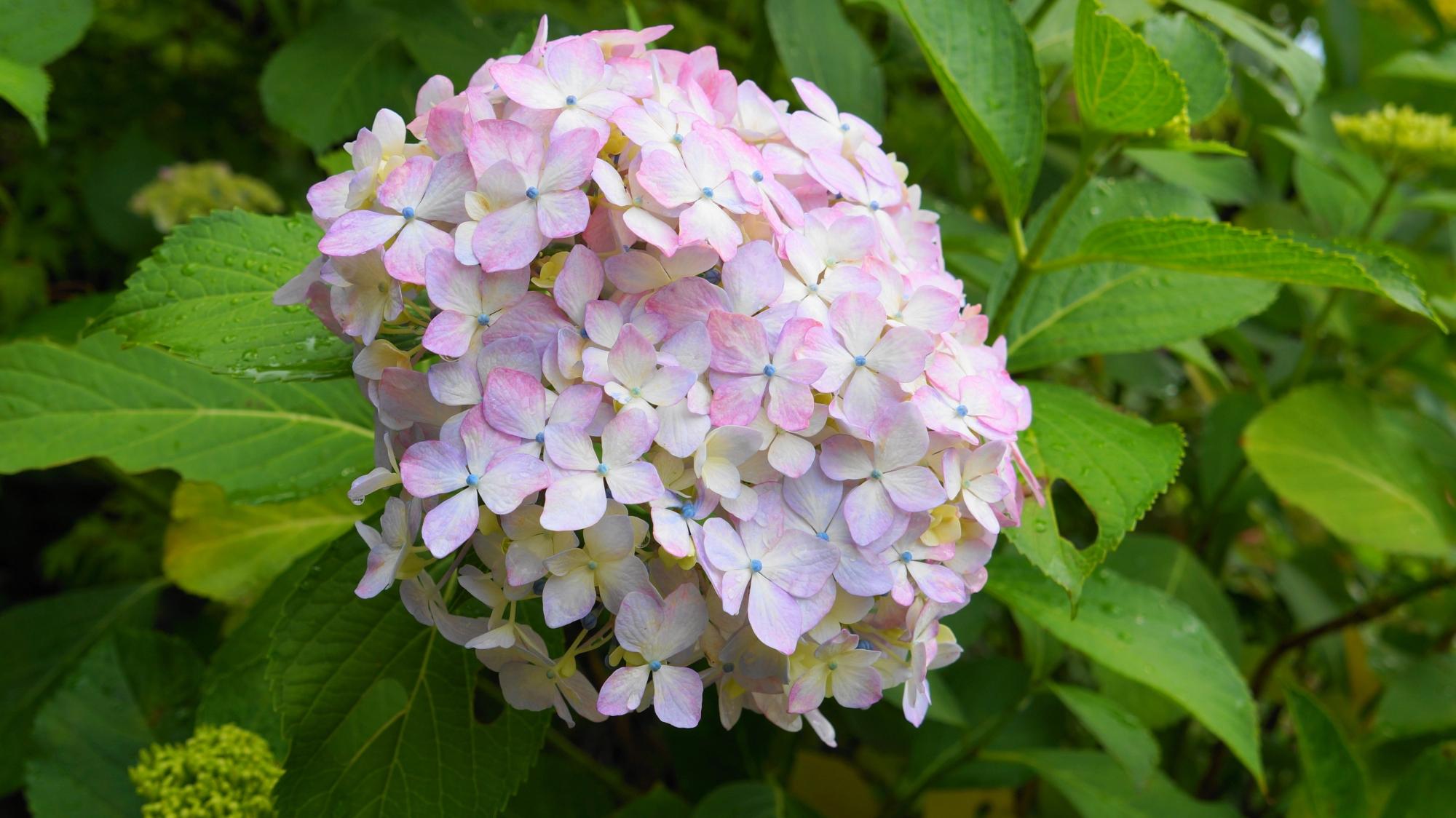ほのかなピンクの入った優しげな白い紫陽花