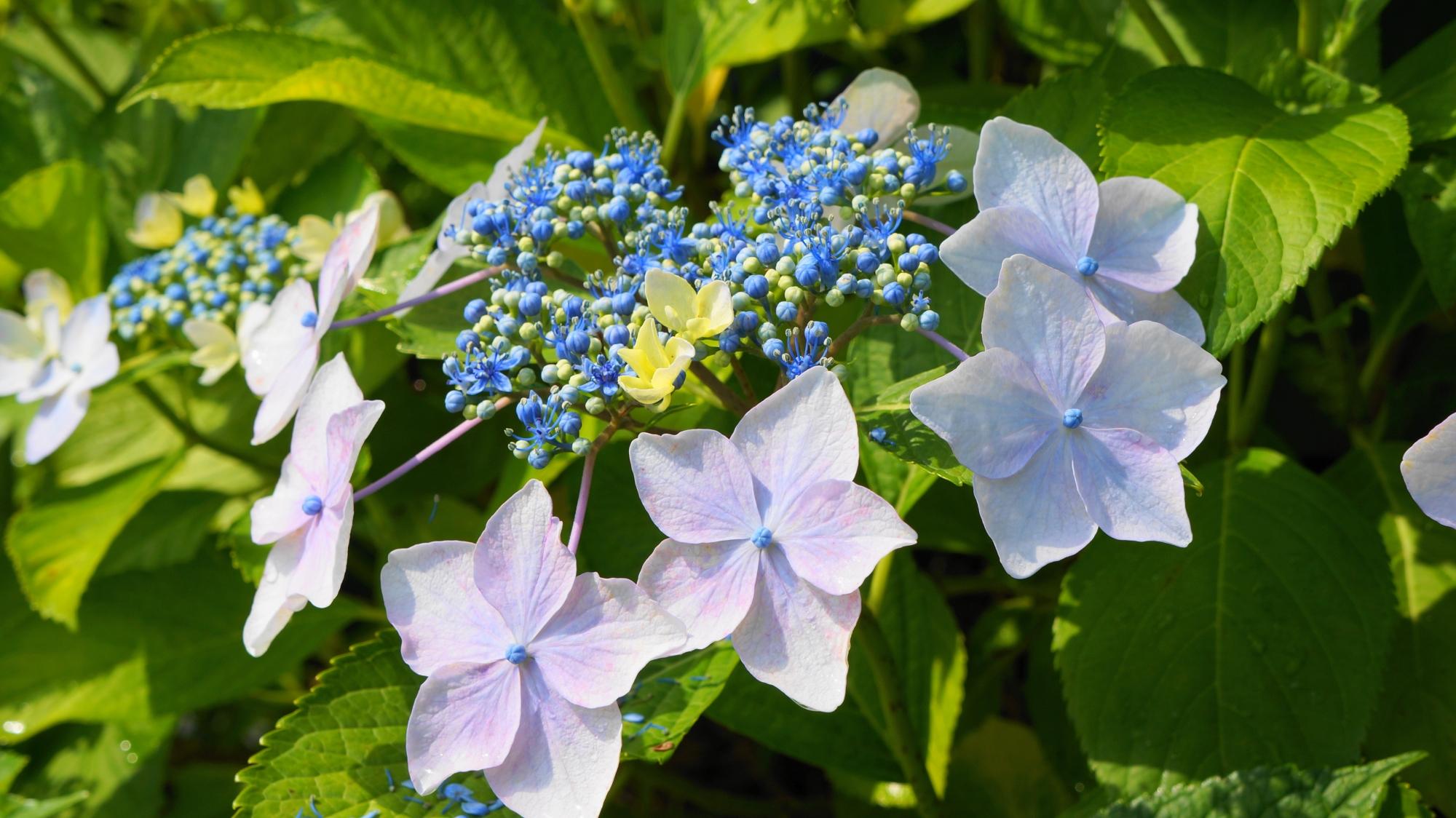 善峯寺の太陽を浴びて輝く額紫陽花