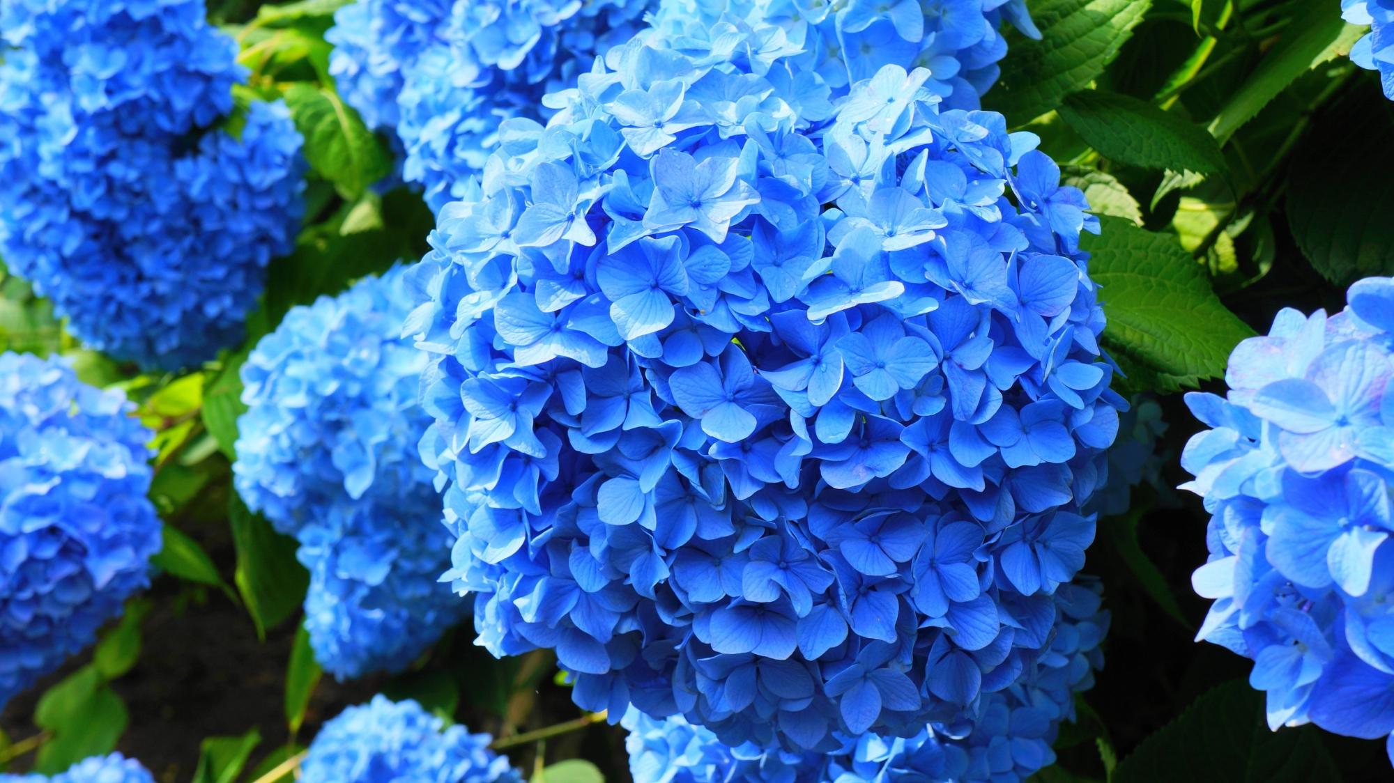 元気いっぱいに咲き誇る善峯寺のブルーの紫陽花