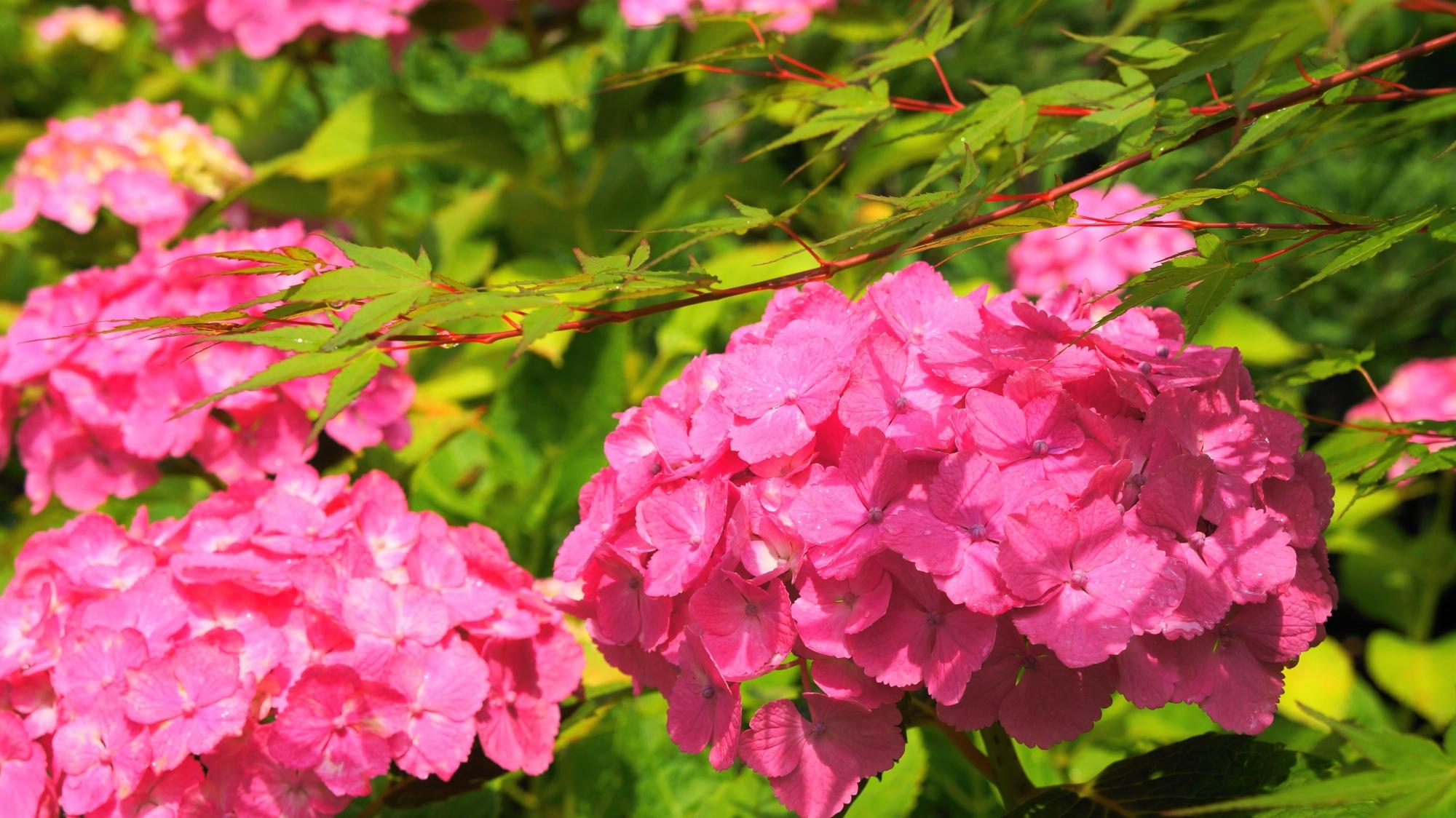 青もみじと紫陽花のコラボ