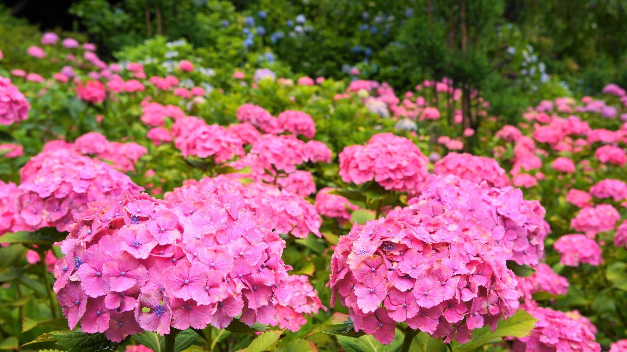 鮮やかなピンクの紫陽花に染まる初夏のあじさい苑