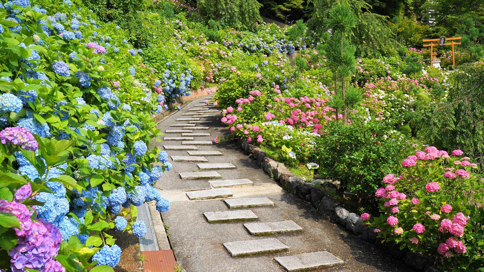 初夏のあじさい苑を覆う色とりどりの紫陽花