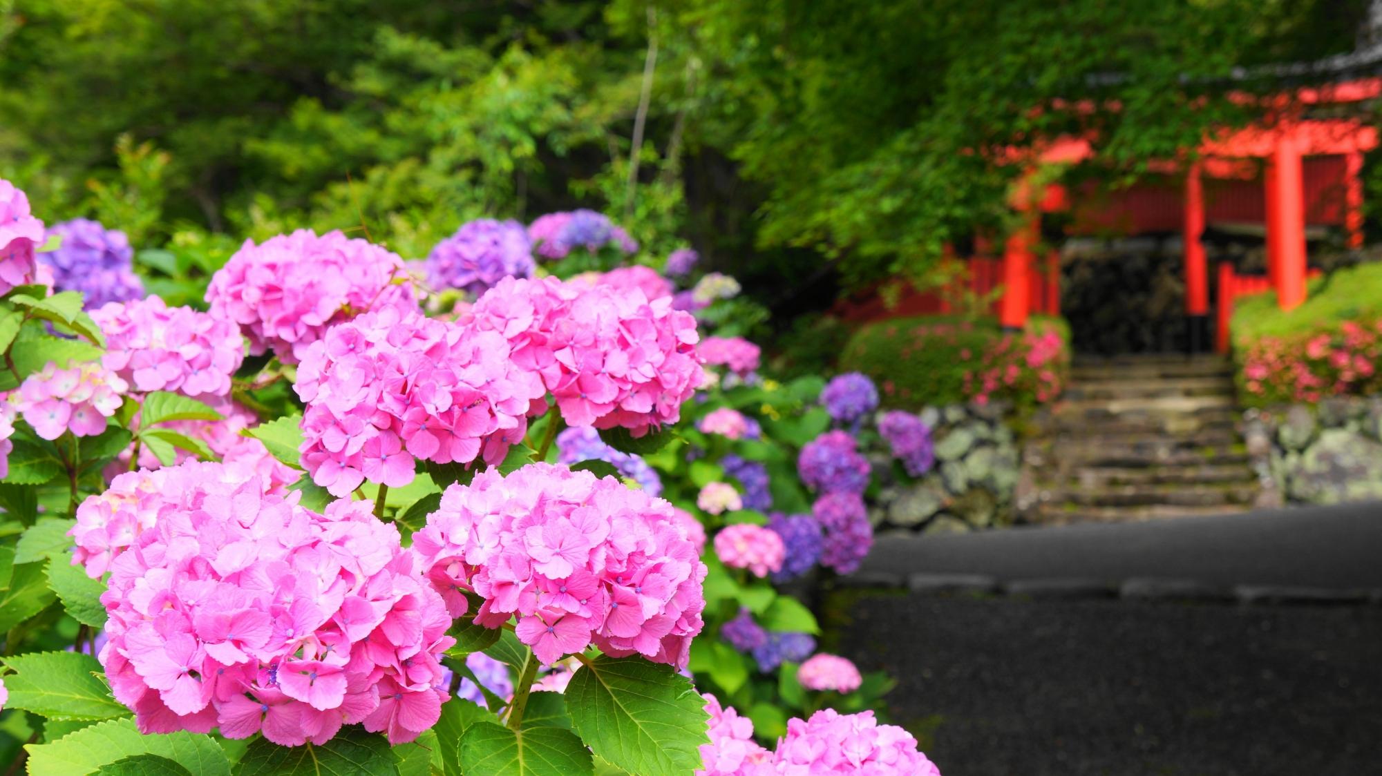 善峯寺の稲荷大社前の紫陽花