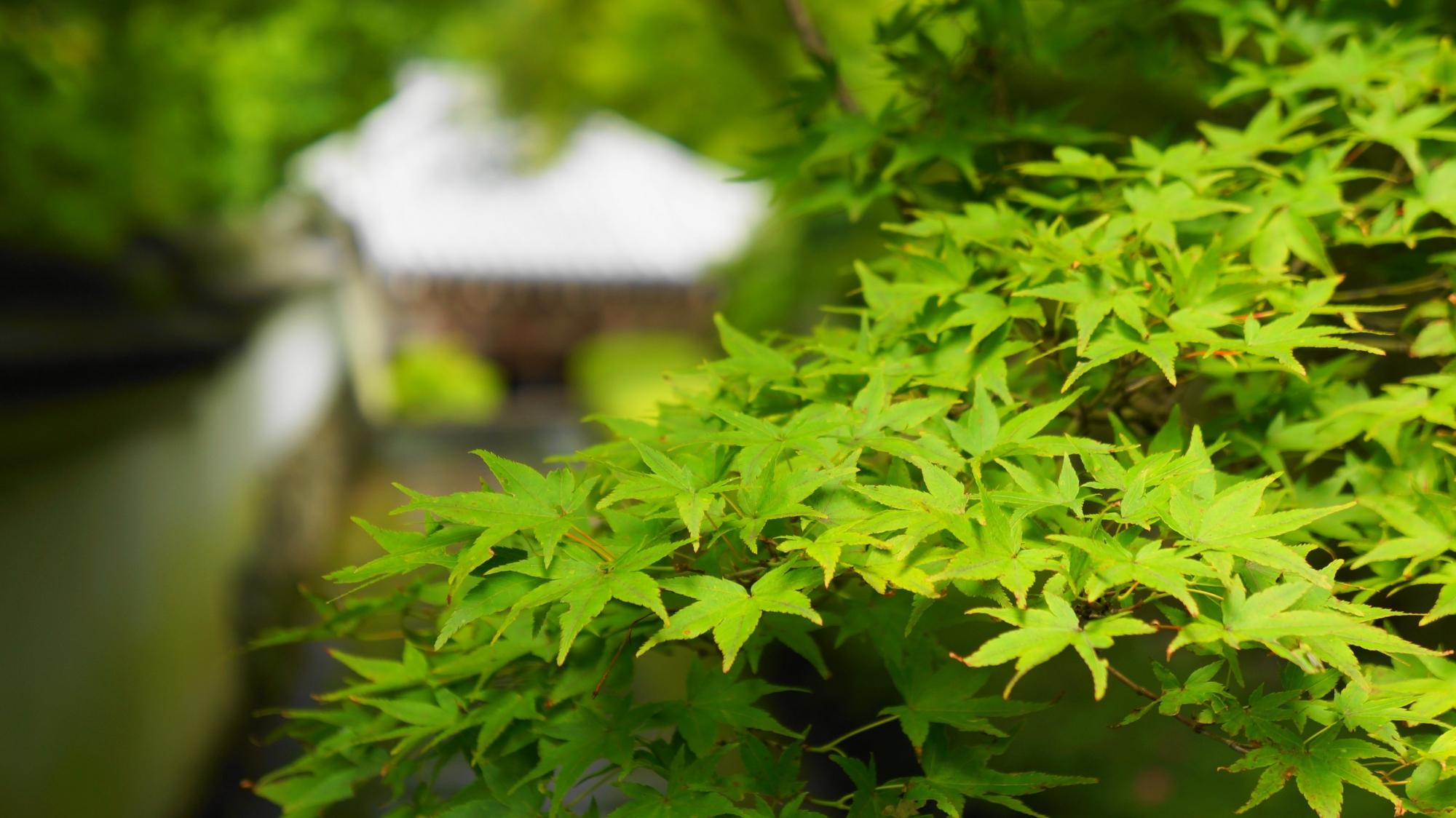 善峯寺の素晴しい紫陽花と初夏の美しい情景