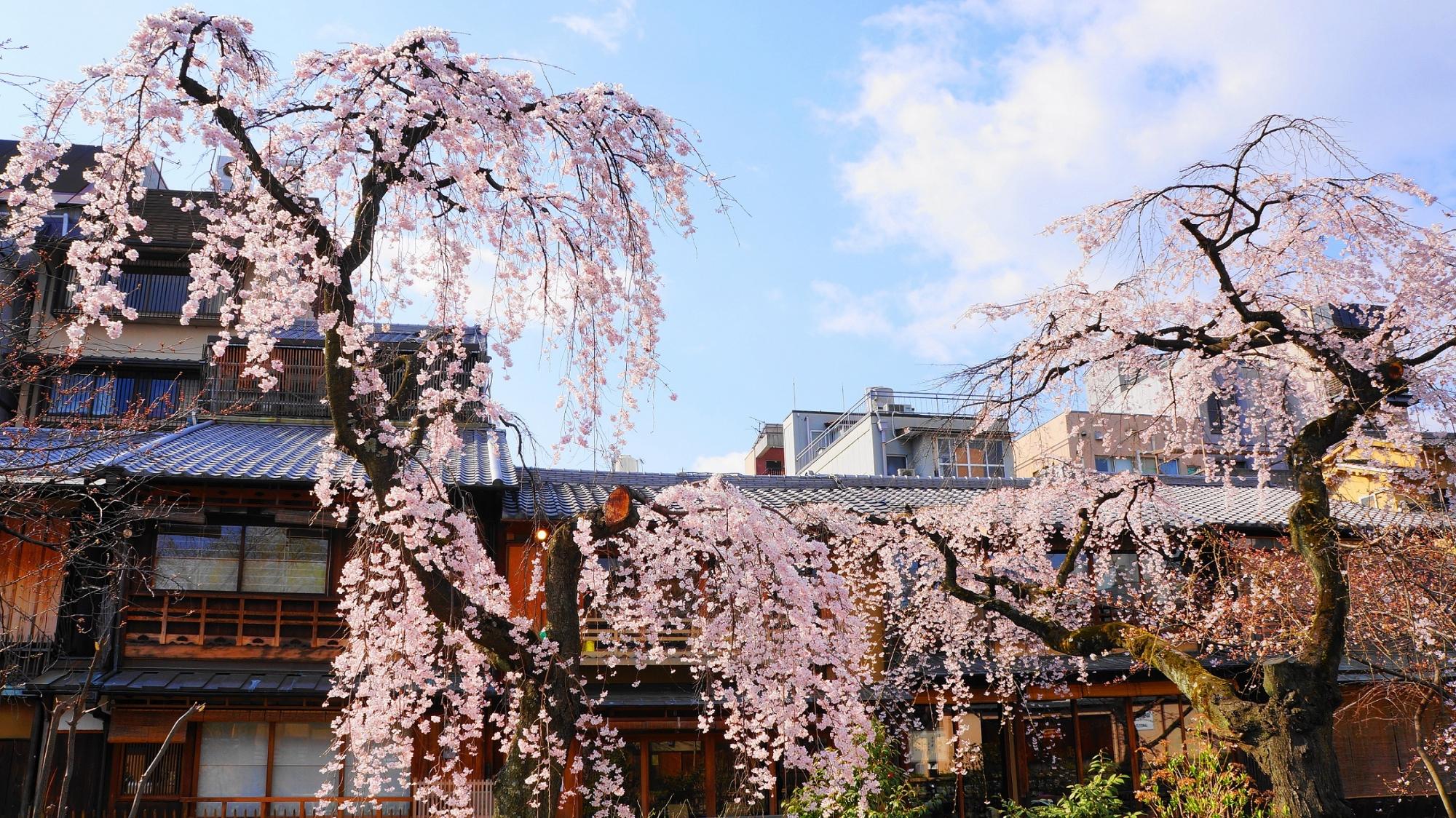 風情ある街並みをつつむ見事なしだれ桜