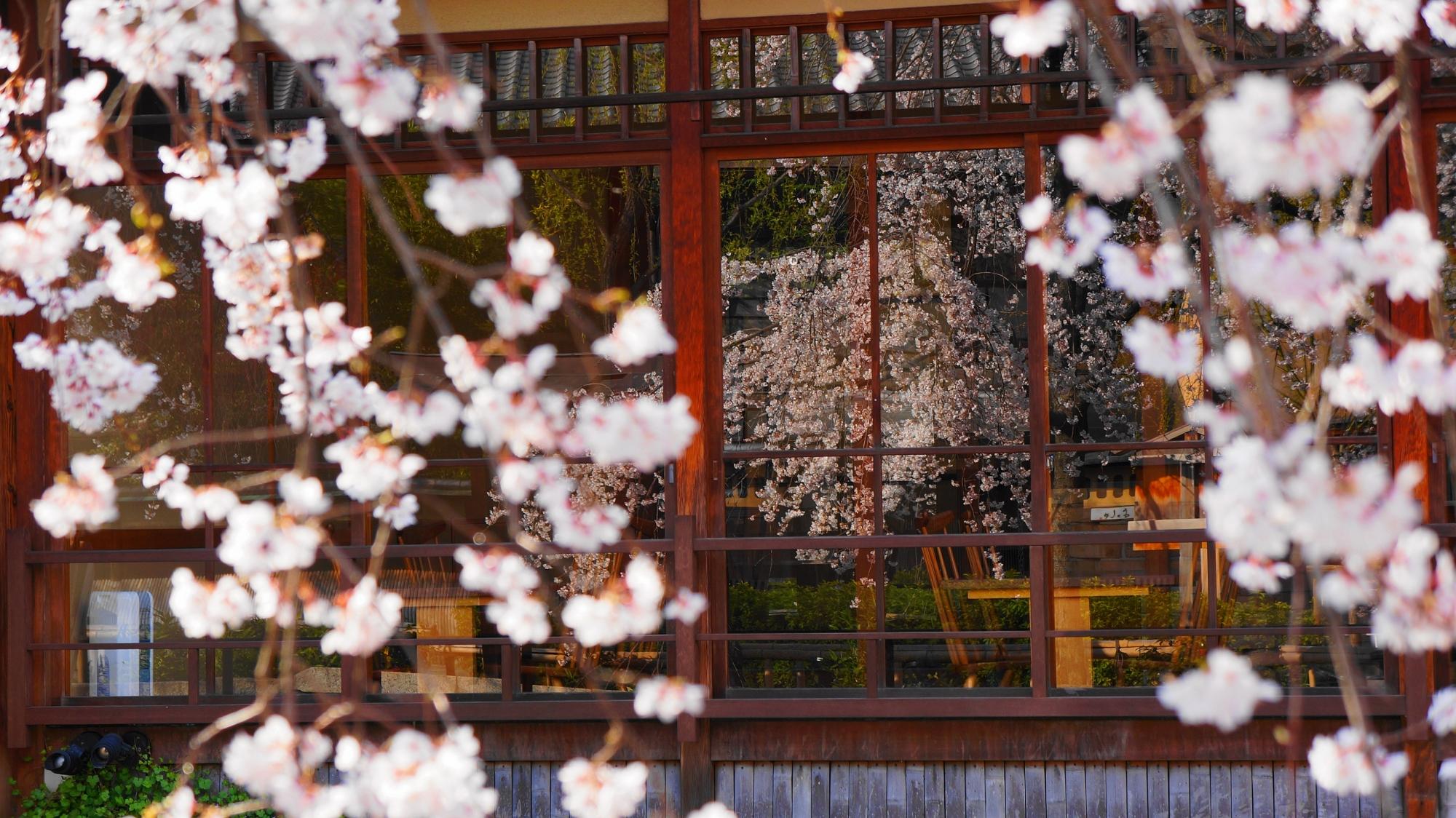 白川南通りのガラスに映る美しい桜
