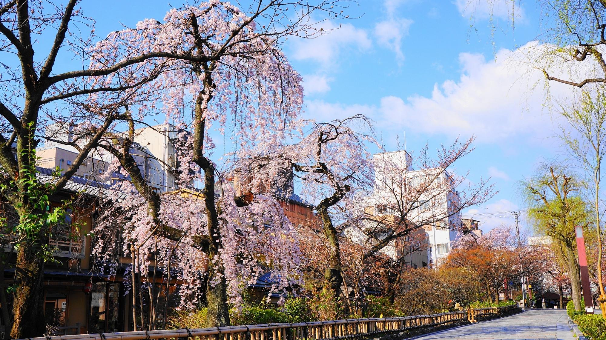 石畳の情緒溢れる京都っぽい通りの桜