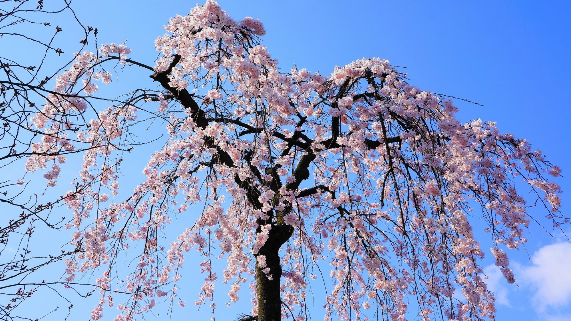 青空にも映えるピンクの桜の花