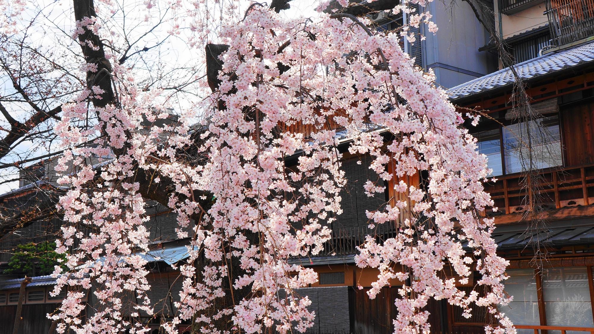 可憐な花をいっぱいつけて咲き誇るしだれ桜