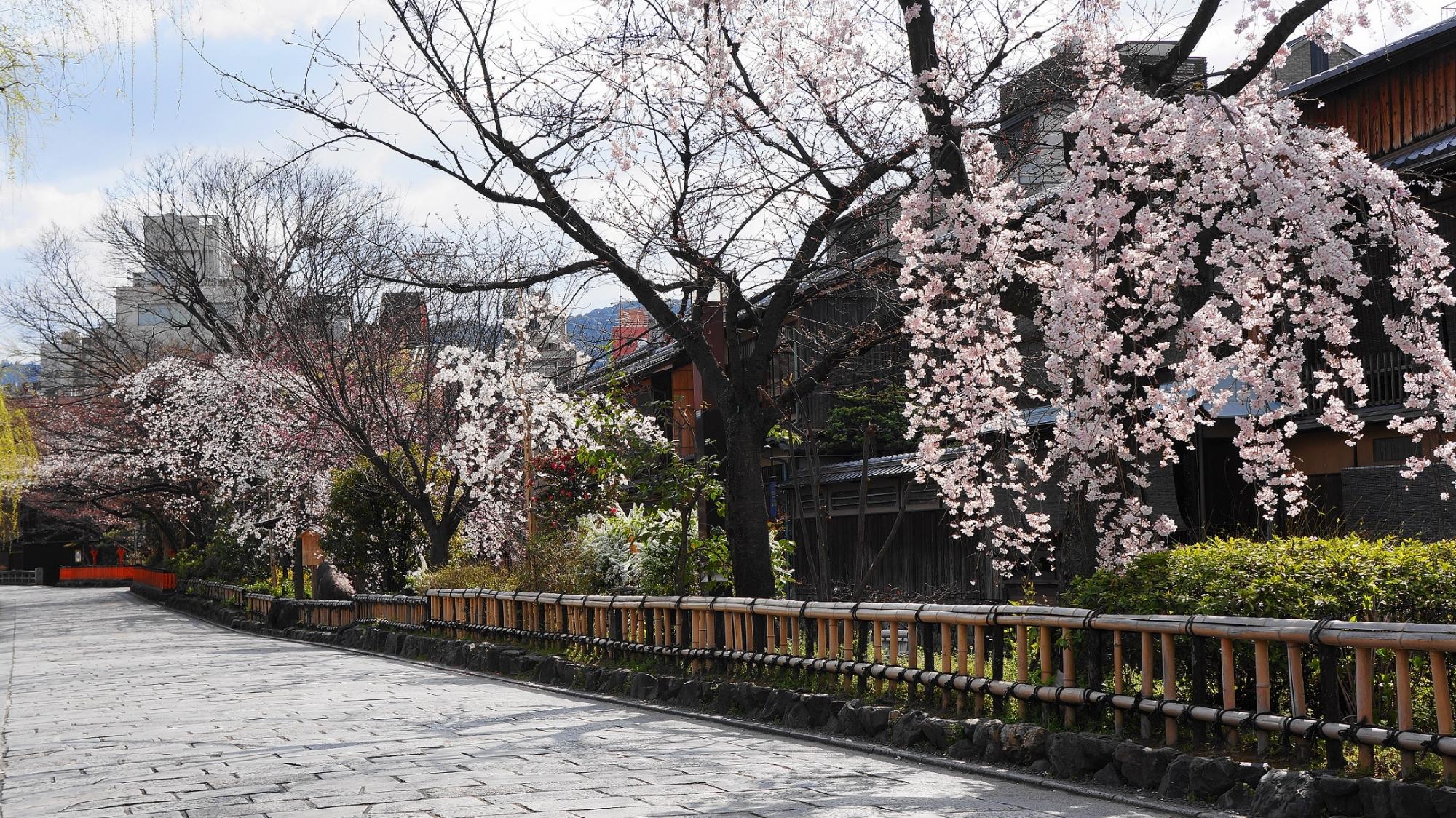 風情ある祇園白川の煌びやかな枝垂れ桜