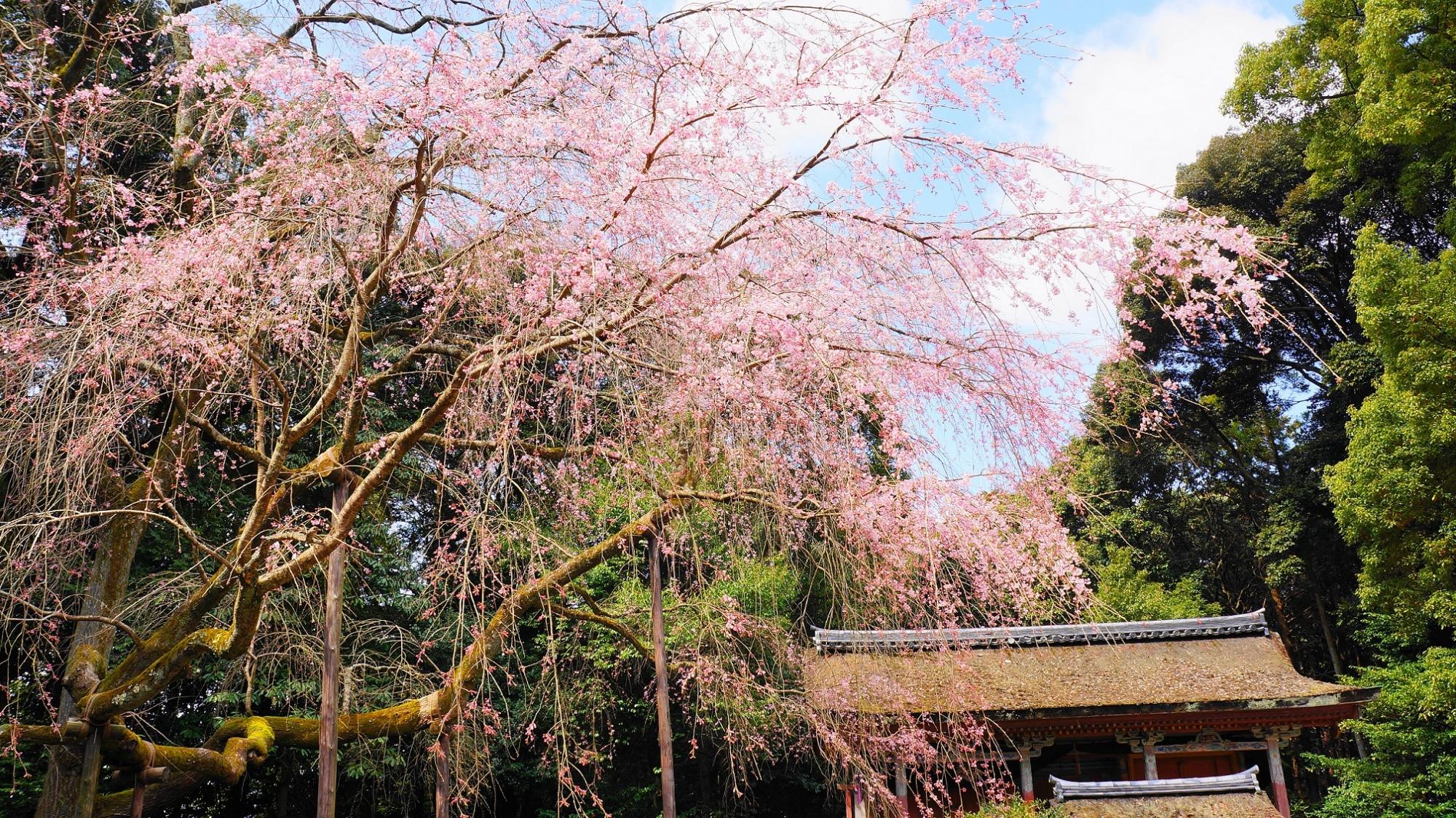 清瀧宮 桜 満開 醍醐寺