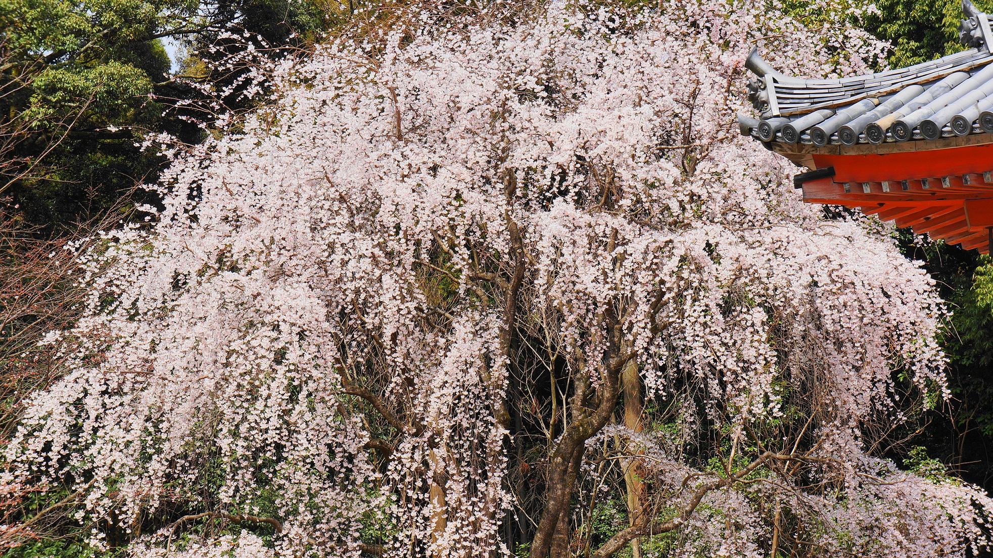 醍醐寺の金堂横の巨木の満開の薬師しだれ桜