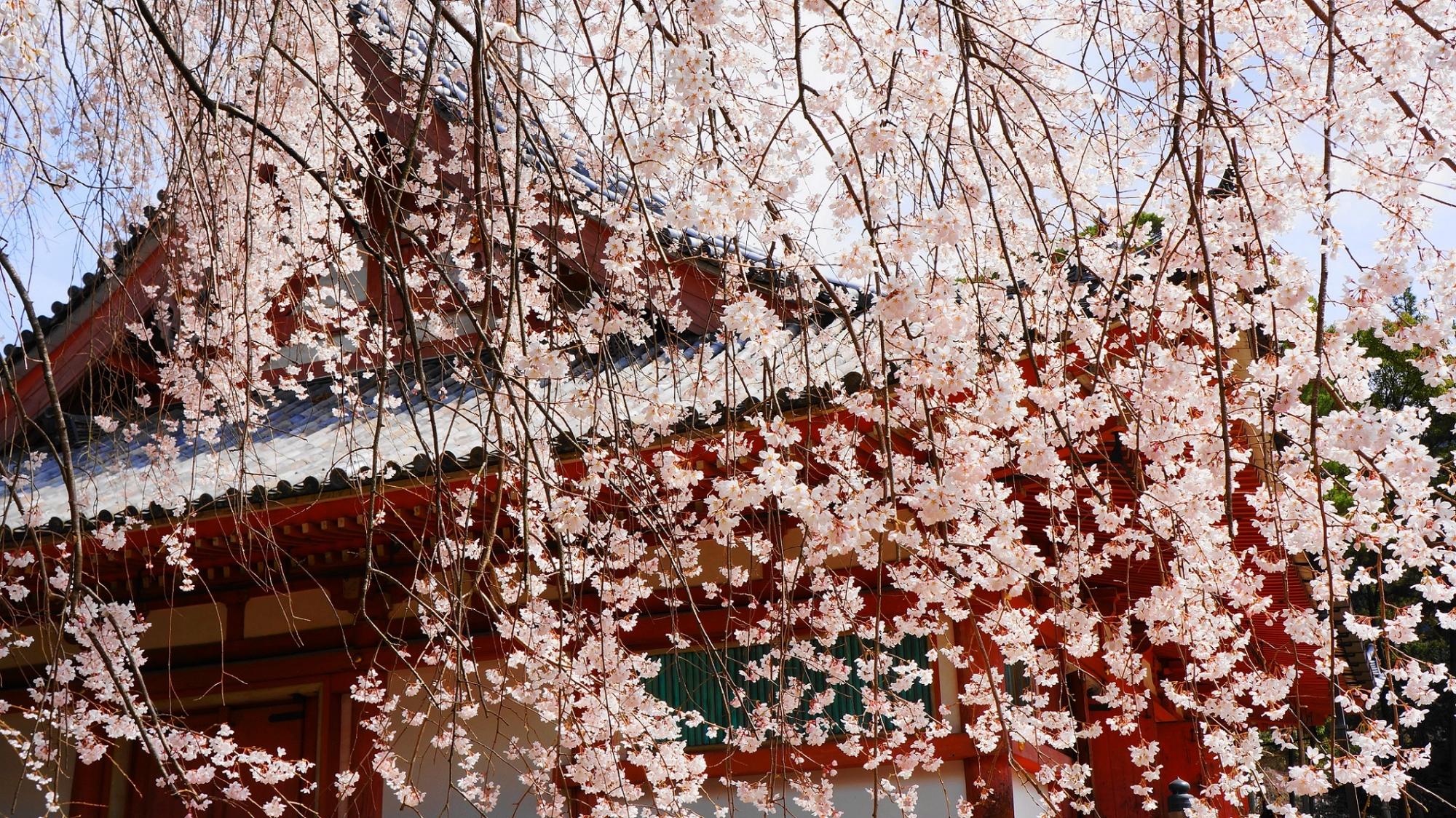 Kyoto Daigo-ji Temple weeping big cherry tree spring