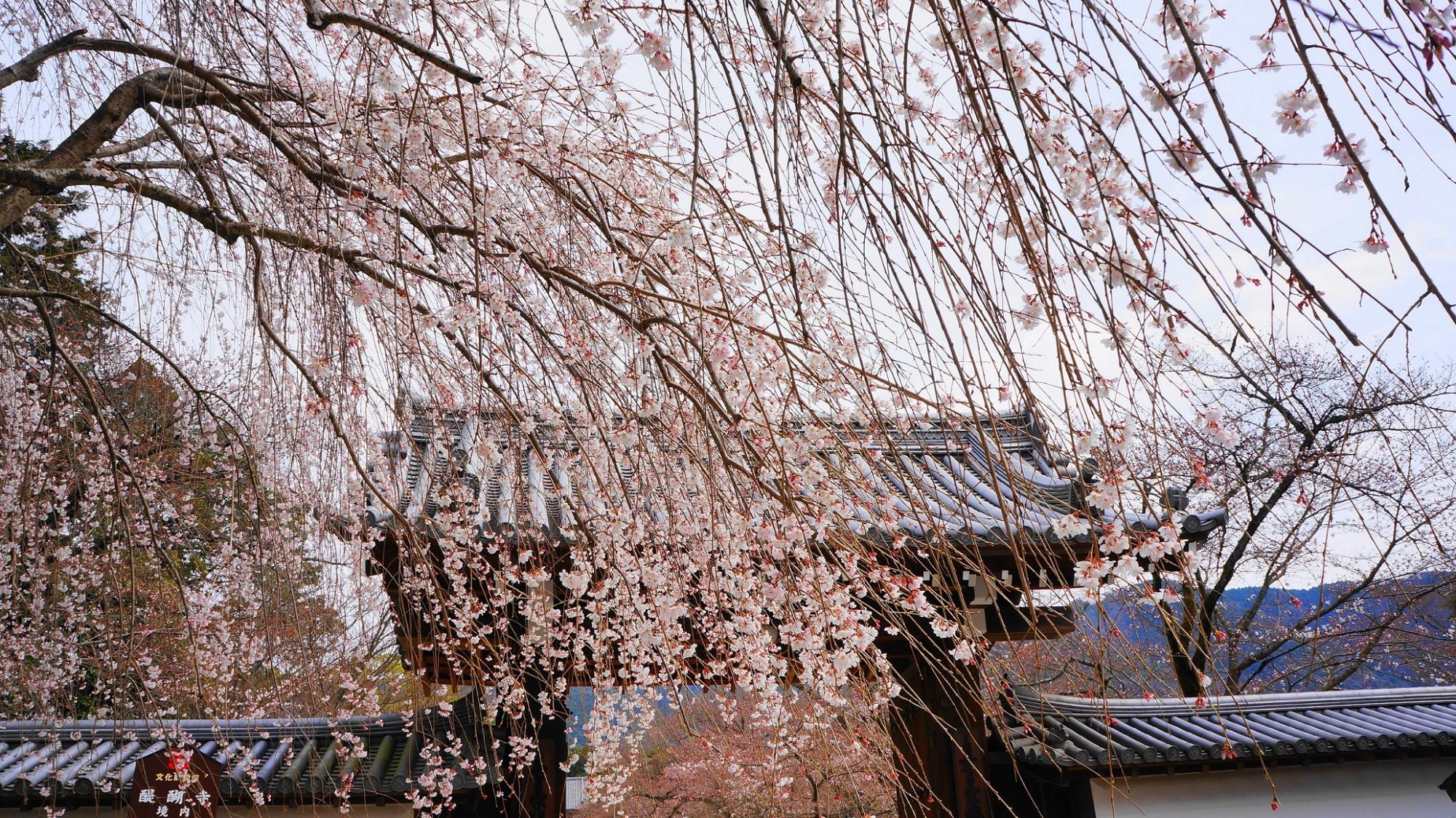 桜の名所の醍醐寺の総門の華やかな桜