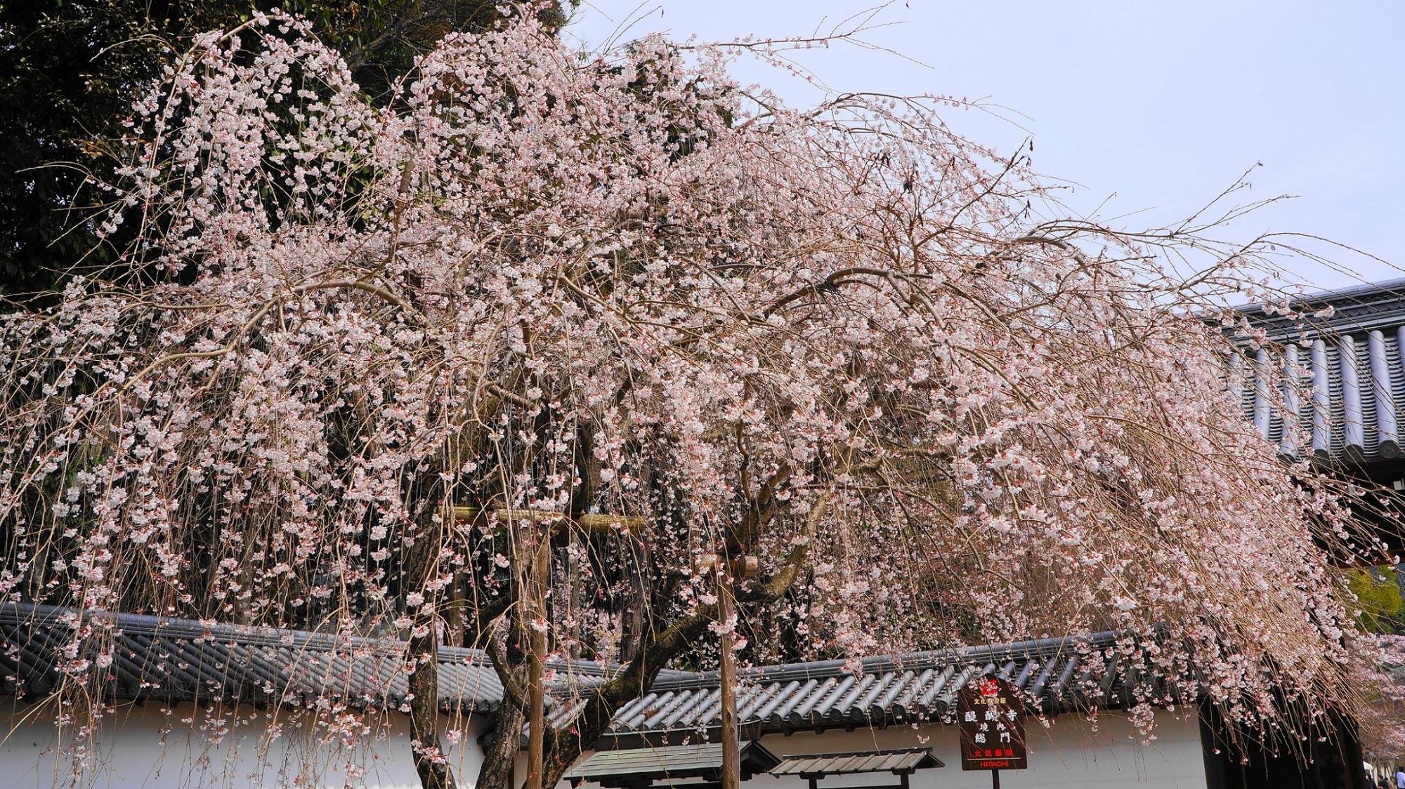 醍醐寺 桜 総門 春