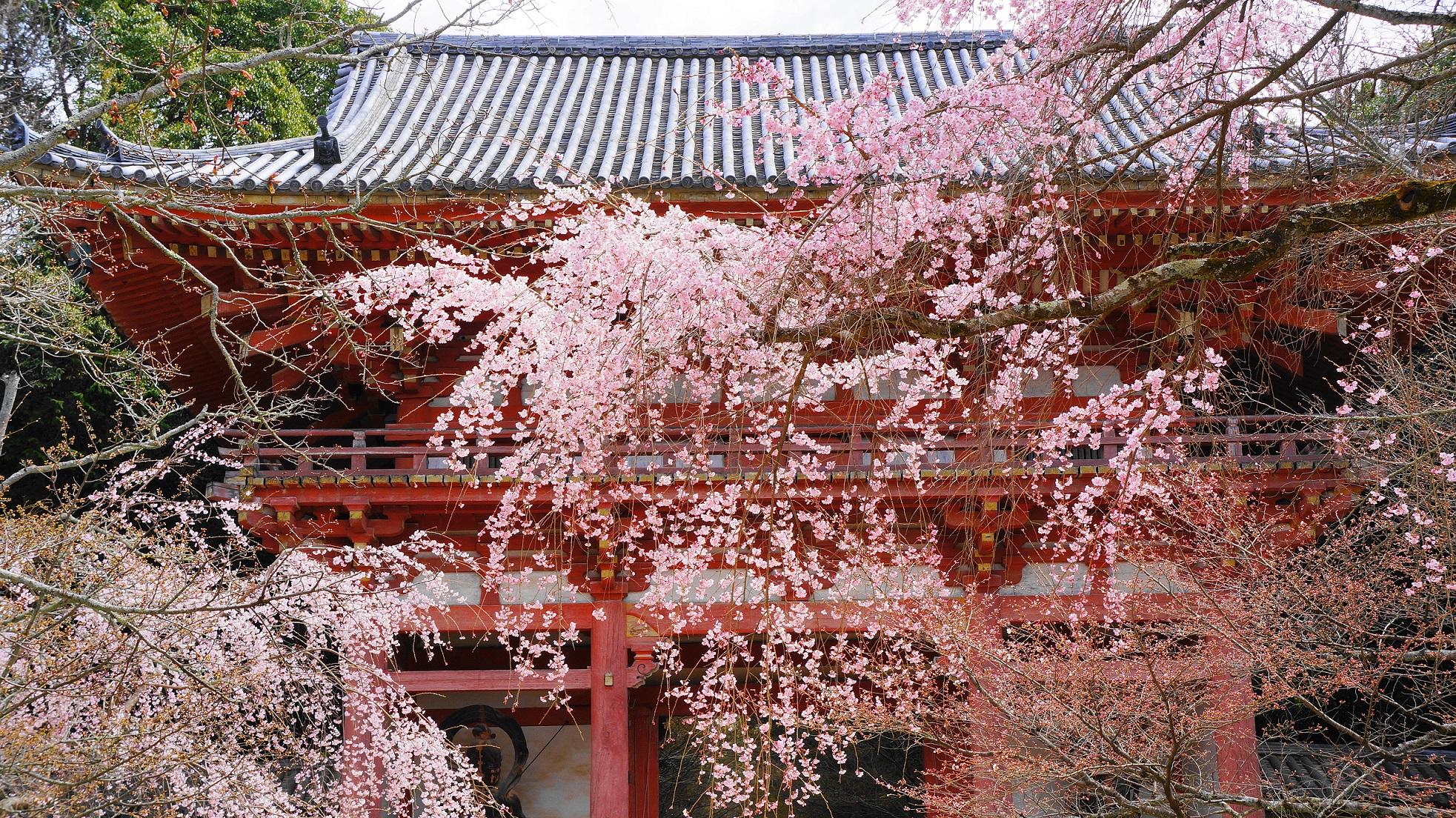 秀吉の花見で有名な醍醐寺の仁王門(西大門)の桜