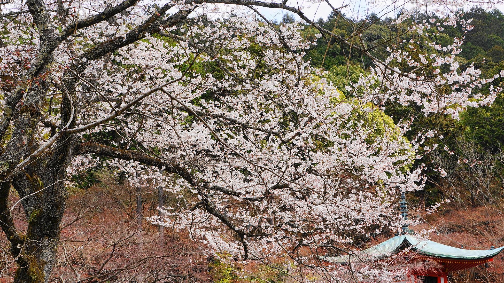醍醐寺 桜 華やか 春 弁天堂 桜