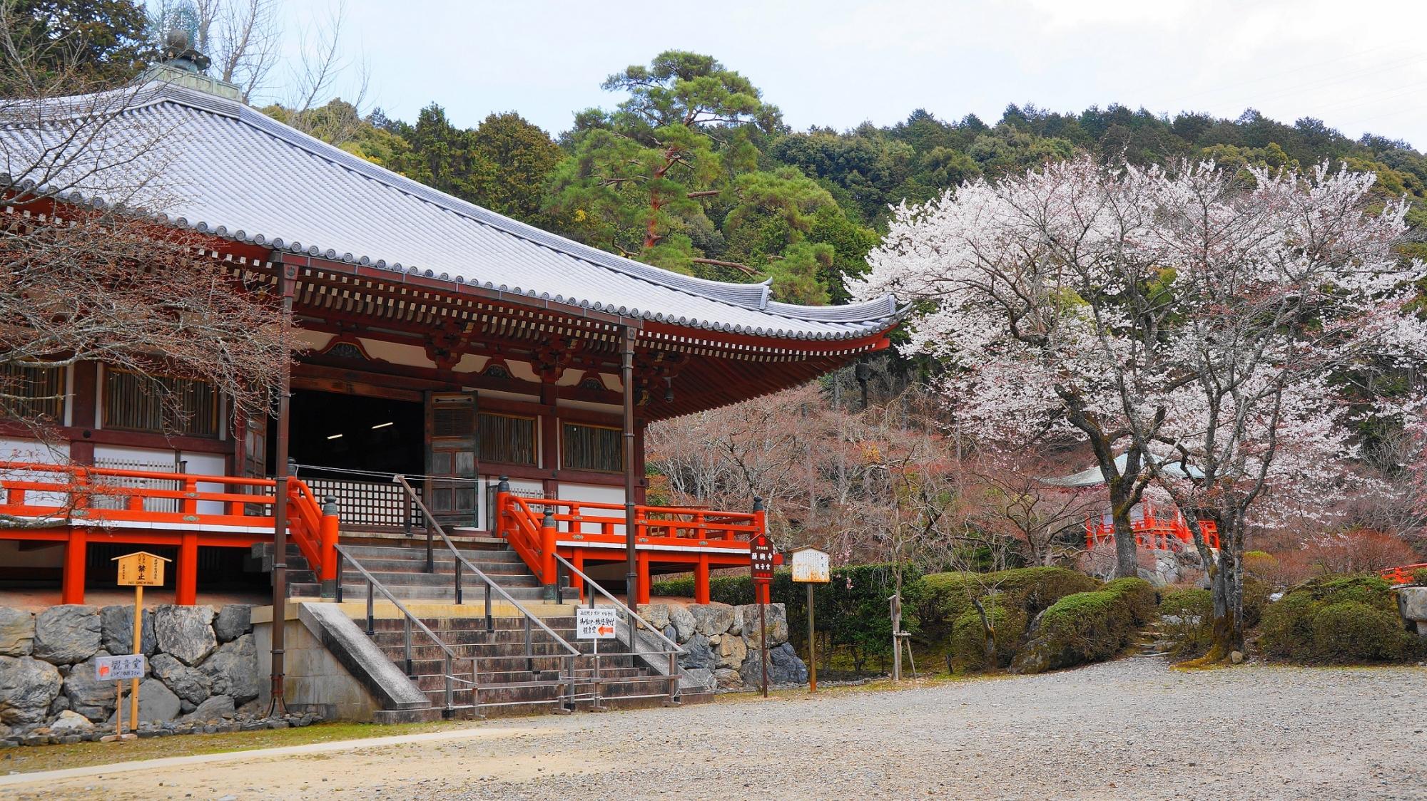 桜の名所の醍醐寺の観音堂と綺麗な桜