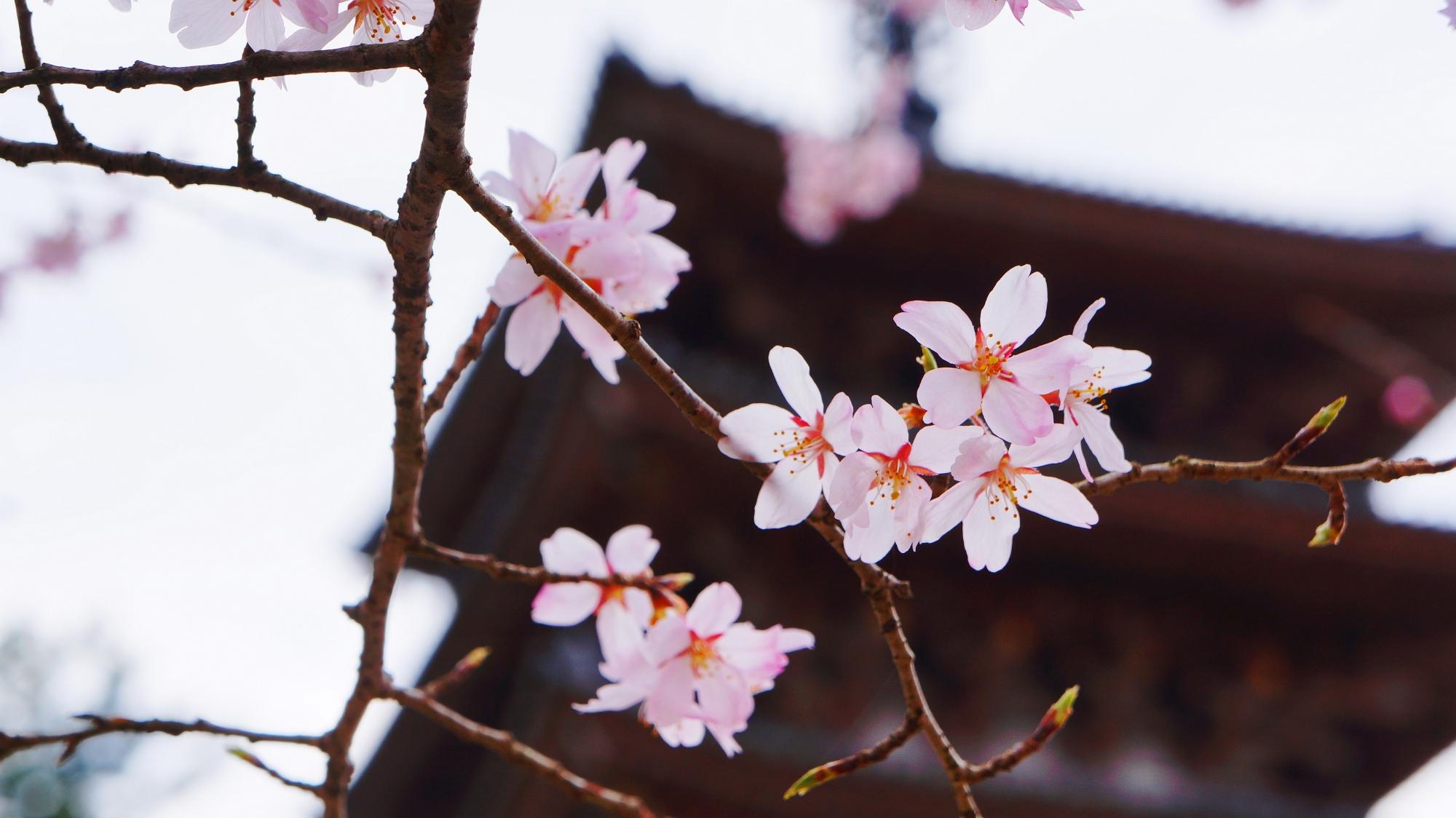 桜の名所の京都醍醐寺の五重塔と見事な桜