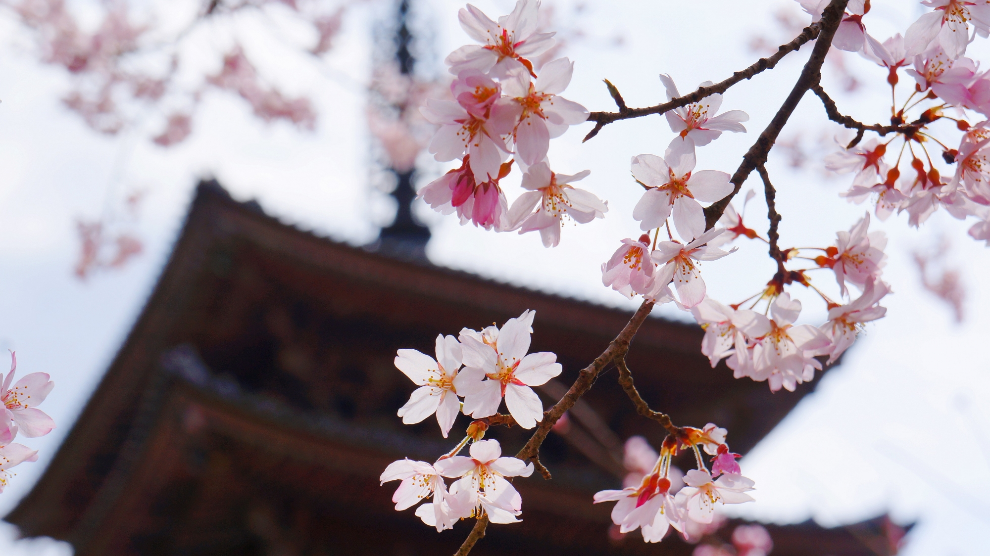 Kyoto Daigoji-Temple Five-story pagoda cherry blossoms spring 桜 醍醐寺 五重塔