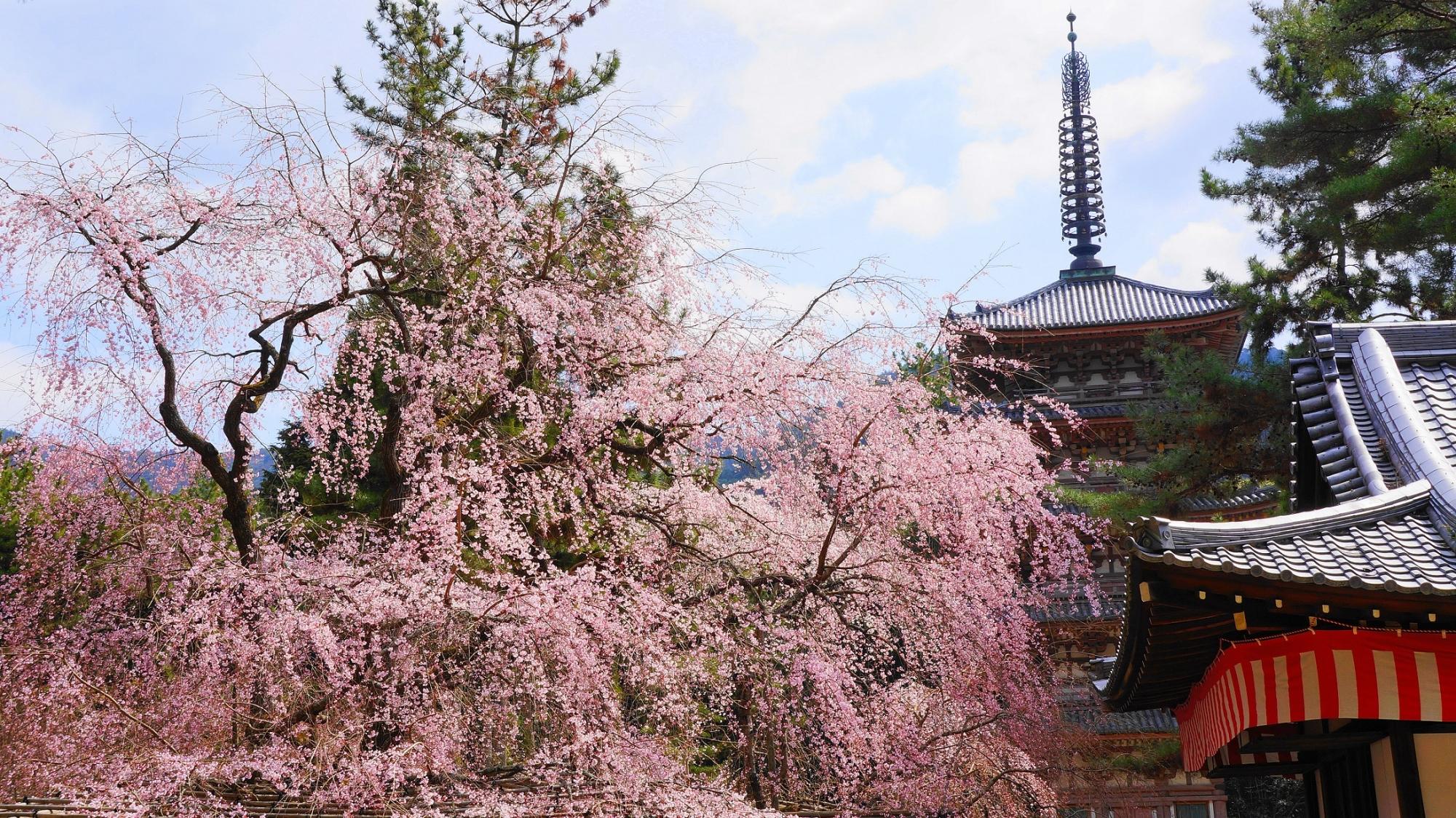 醍醐寺 五重塔 桜 満開 華やか 春