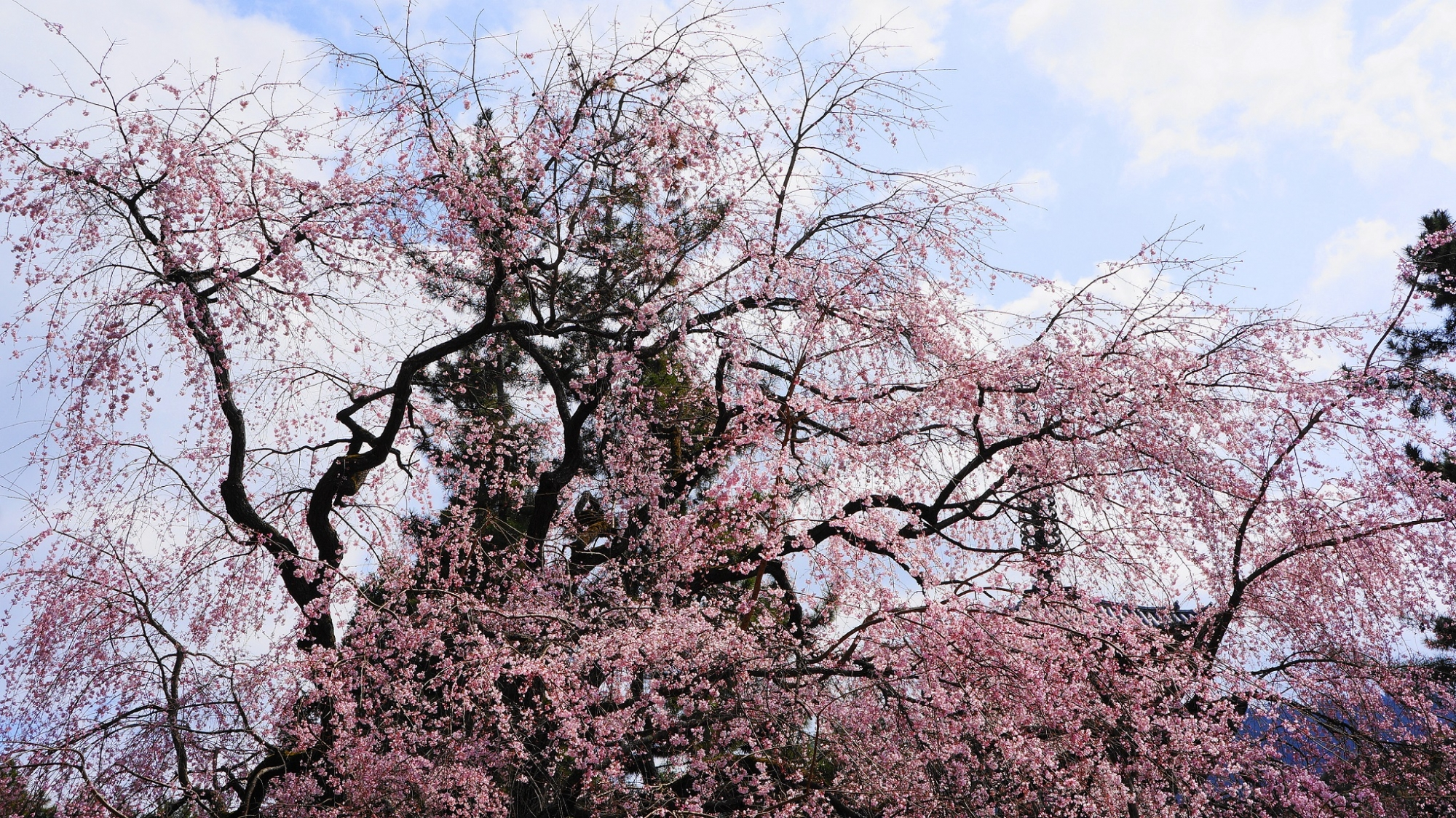 醍醐寺 桜 満開 五重塔 醍醐の花見