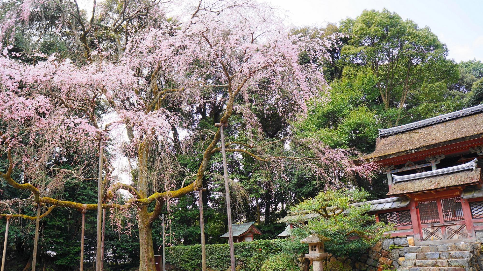 醍醐寺の清瀧宮と見事な桜