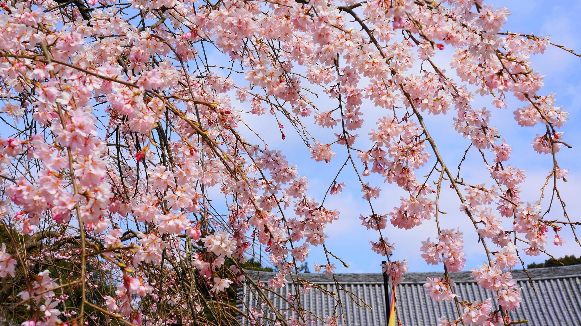 桜の名所の世界文化遺産の醍醐寺の金堂と優雅な桜