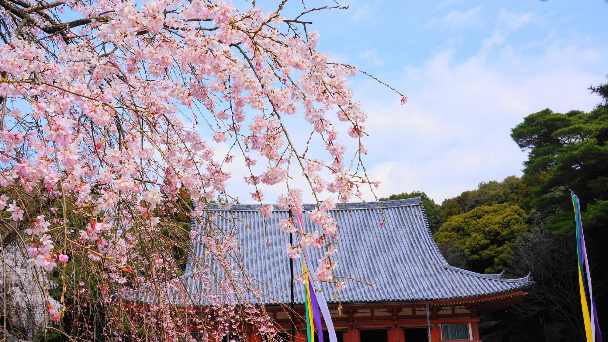 醍醐寺の金堂と優美な桜