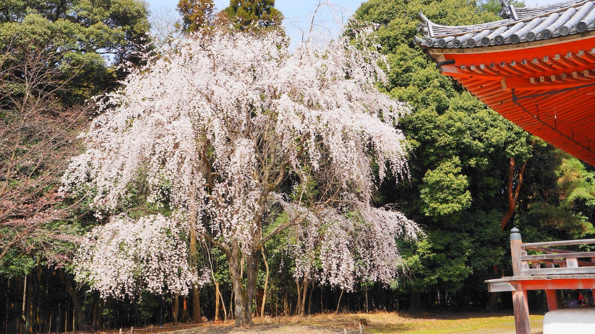京都醍醐寺の金堂横の巨木の満開のしだれ桜