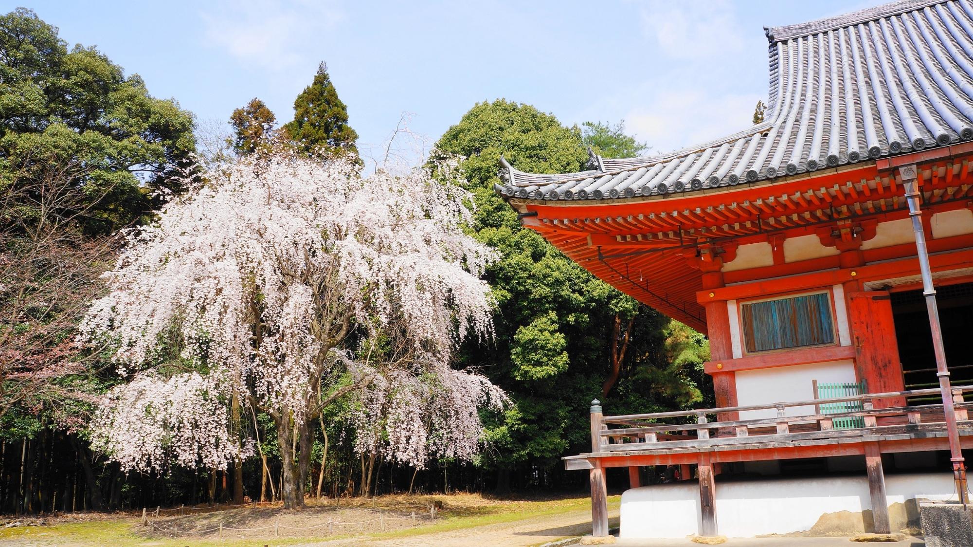 秀吉の花見で有名な醍醐寺の金堂横の巨木の満開のしだれ桜