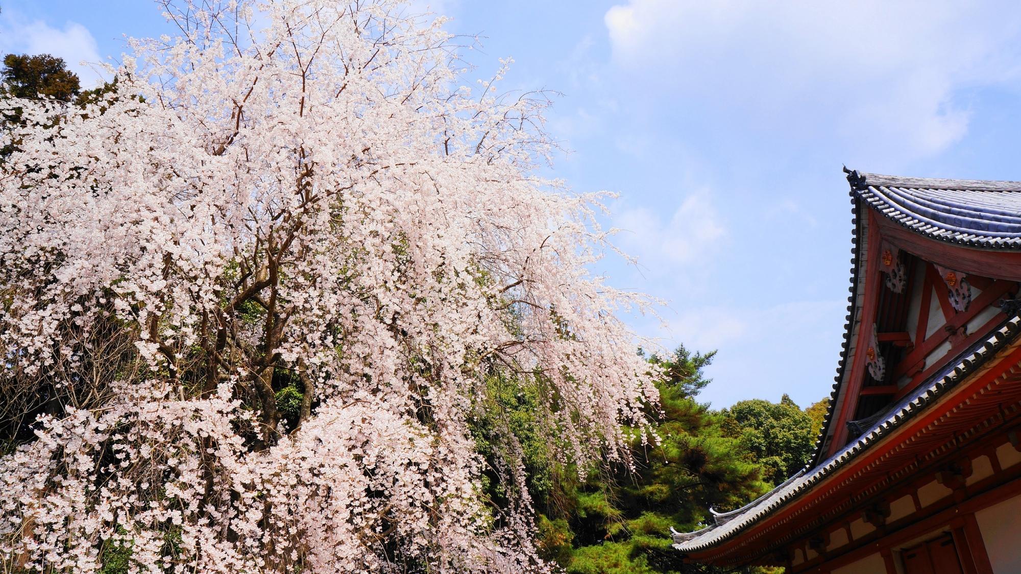 しだれ桜 満開 金堂 醍醐寺 巨木 春