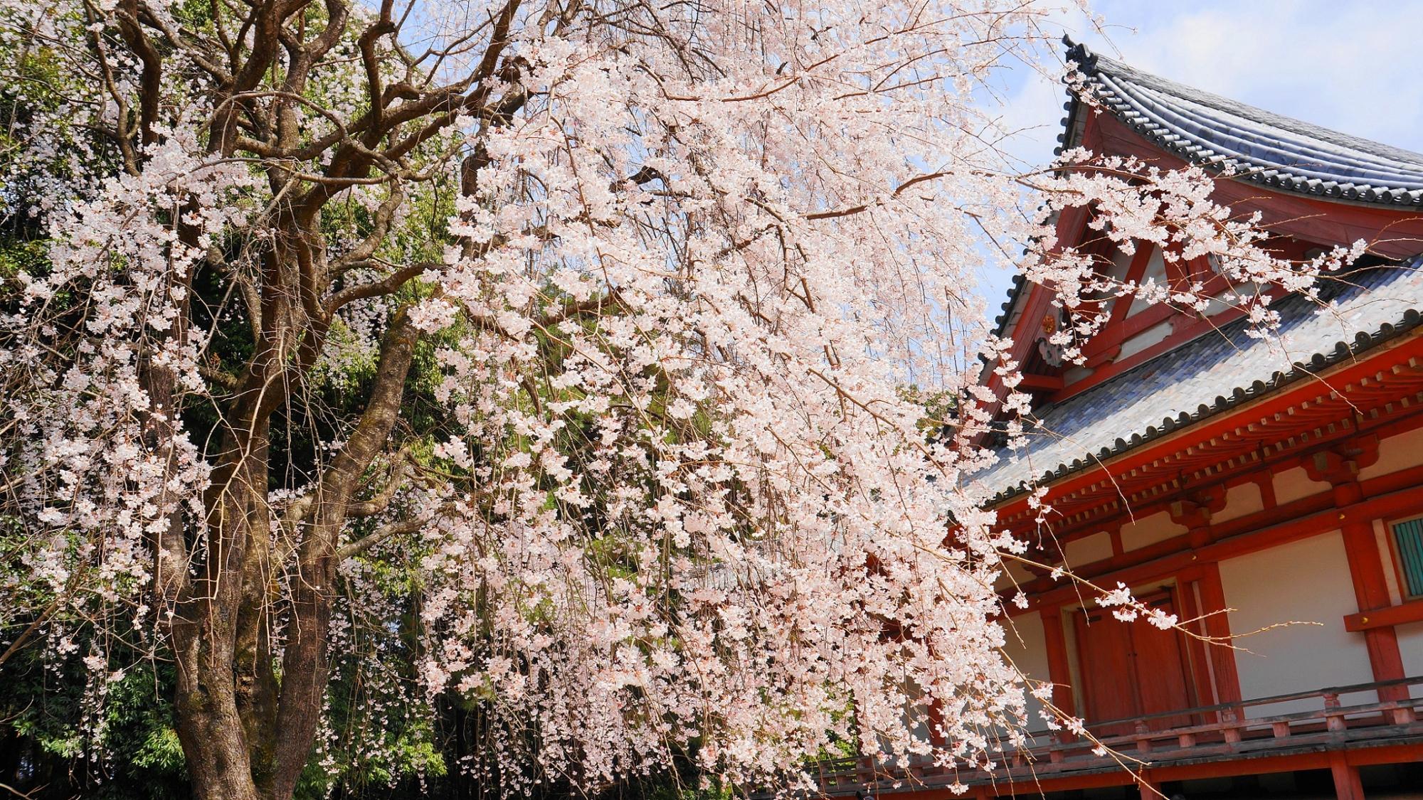 桜の名所の醍醐寺の金堂横の巨木の満開の迫力のしだれ桜
