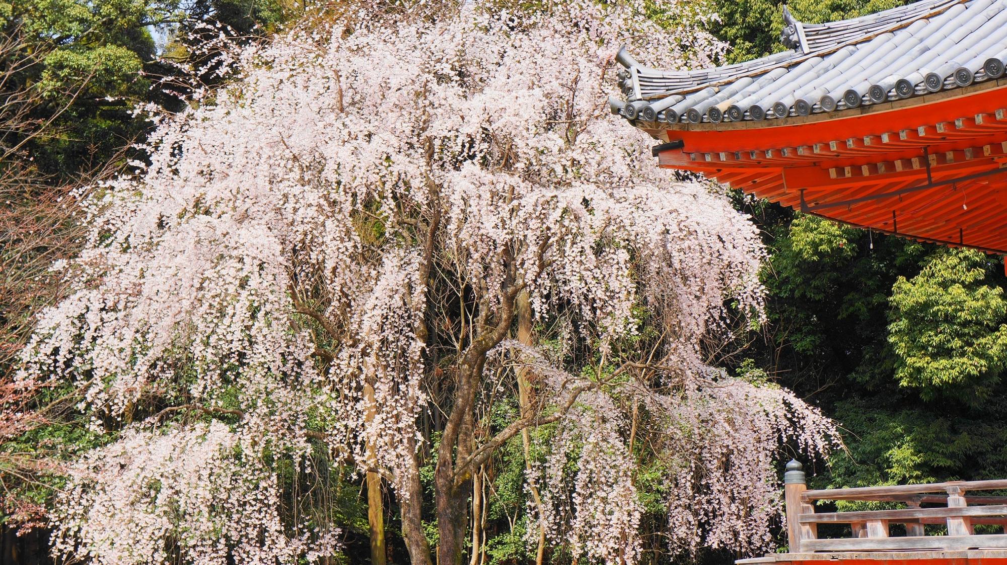 醍醐の花見で有名な醍醐寺の金堂横の満開の豪快なしだれ桜