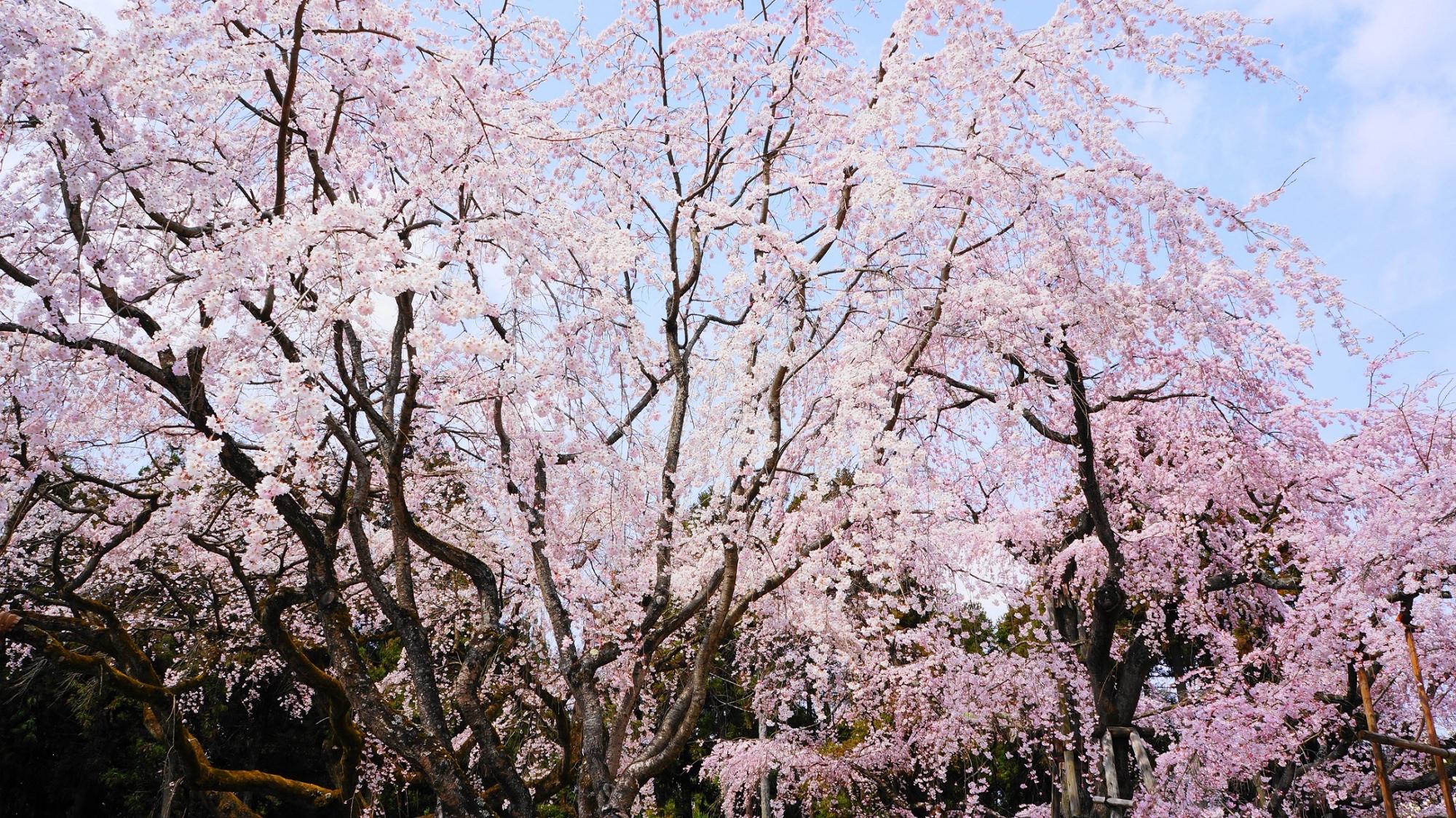 醍醐の花見で有名な京都醍醐寺の三宝院の満開の見事な太閤しだれ桜